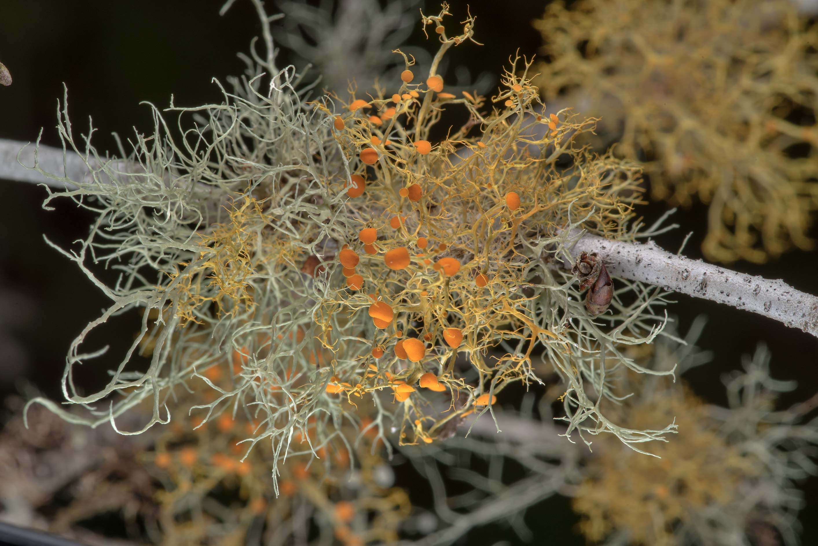 Slender orange bush lichen (Teloschistes exilis...State Historic Site. Washington, Texas