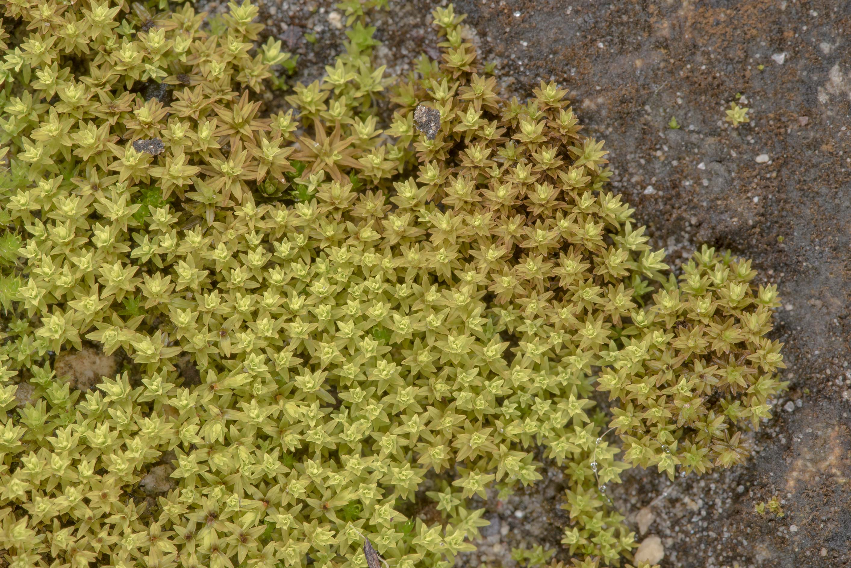Pigtail moss (Weissia controversa) on sandstone...of Somerville Lake State Park. Texas