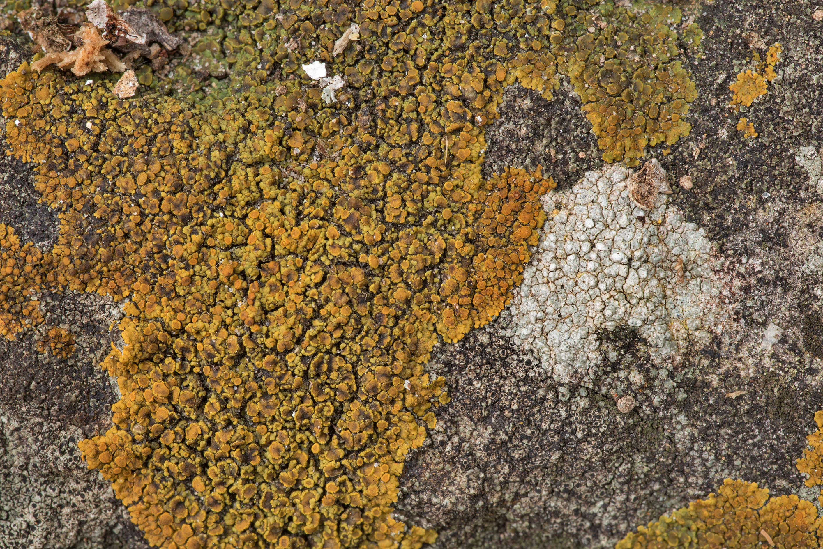 Firedot lichen Caloplaca squamosa and other...of Somerville Lake State Park. Texas