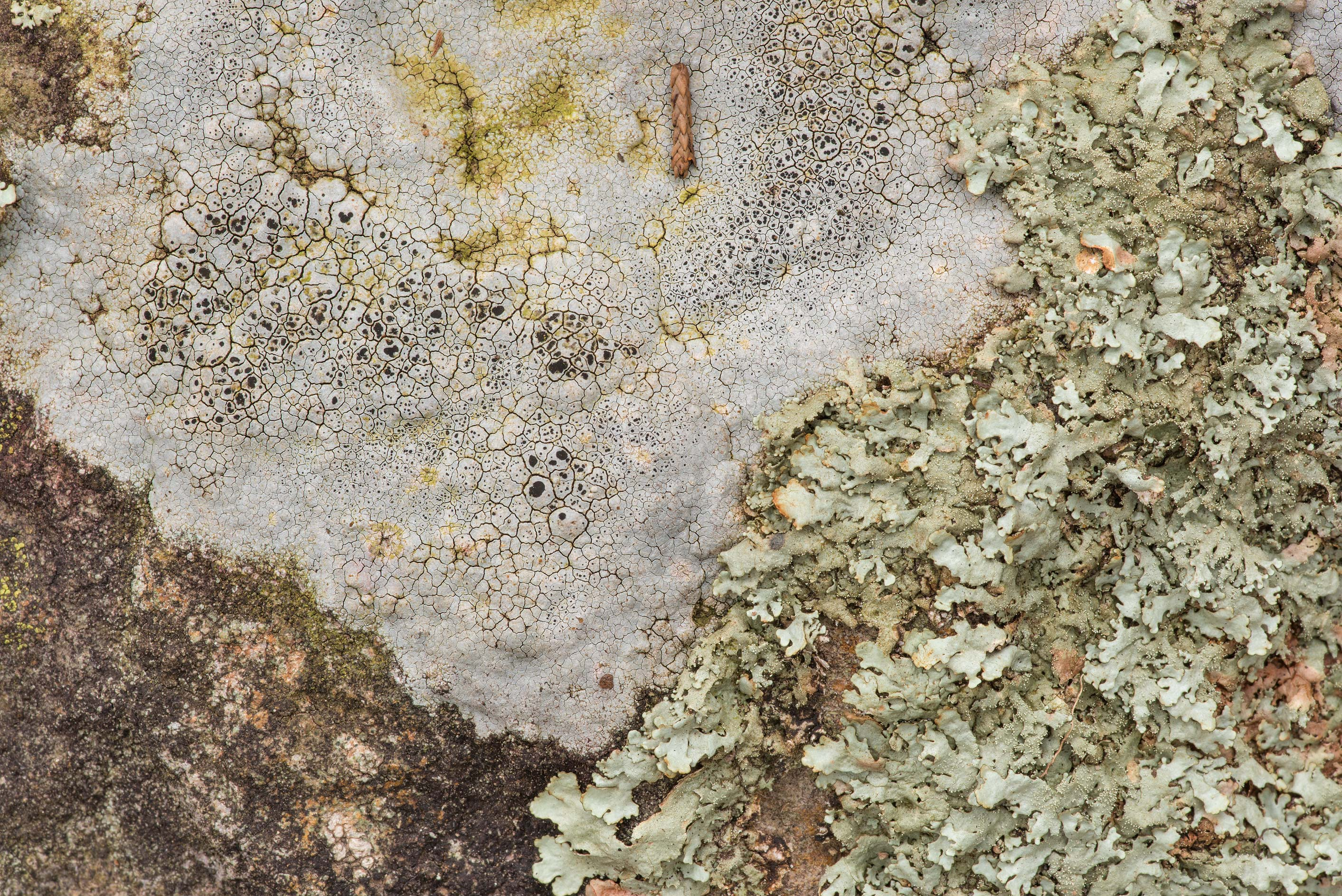 Sunken rim-lichen (Lecanora oreinoides) and...of Somerville Lake State Park. Texas
