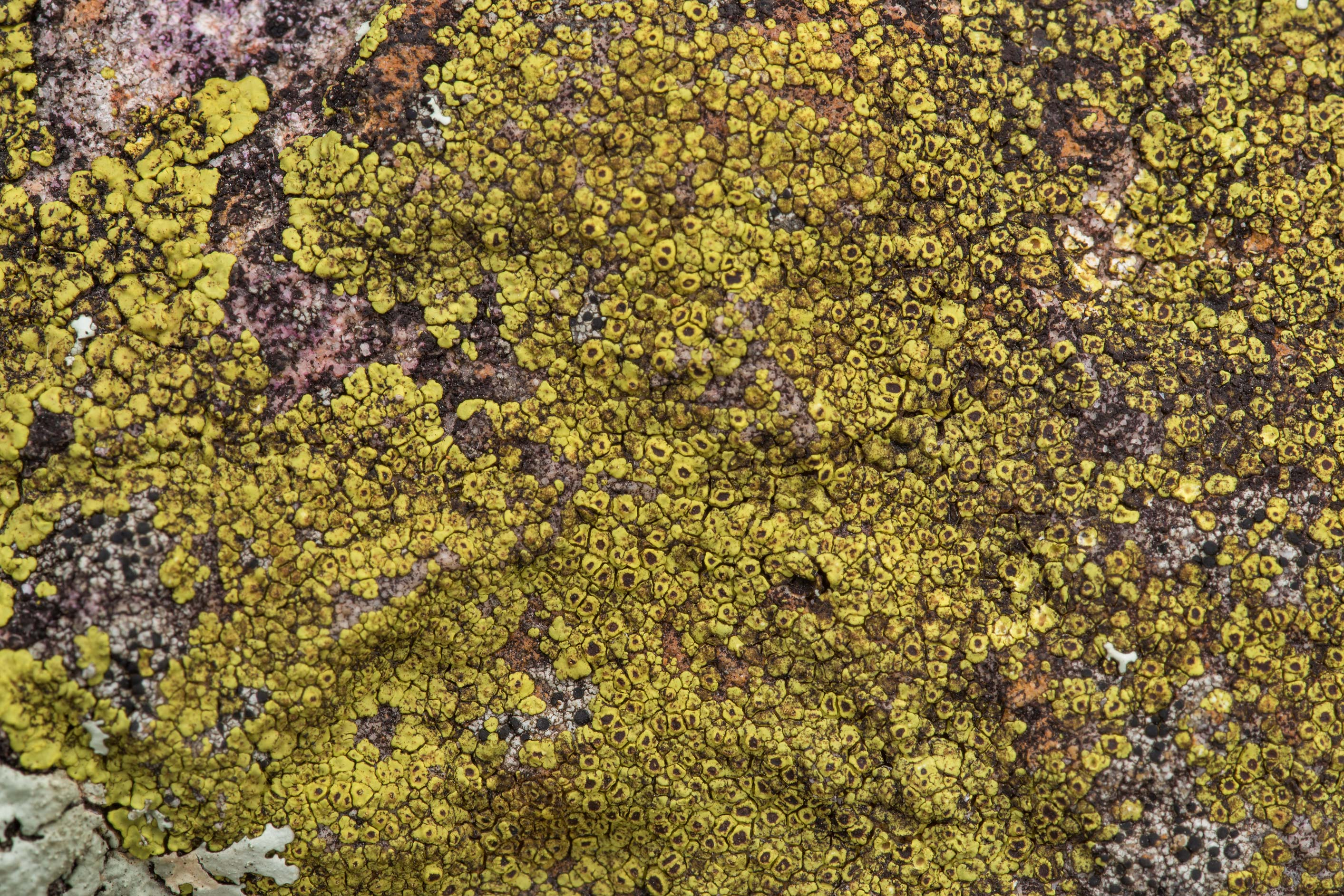 Yellow cobblestone lichen Acarospora socialis on...of Somerville Lake State Park. Texas