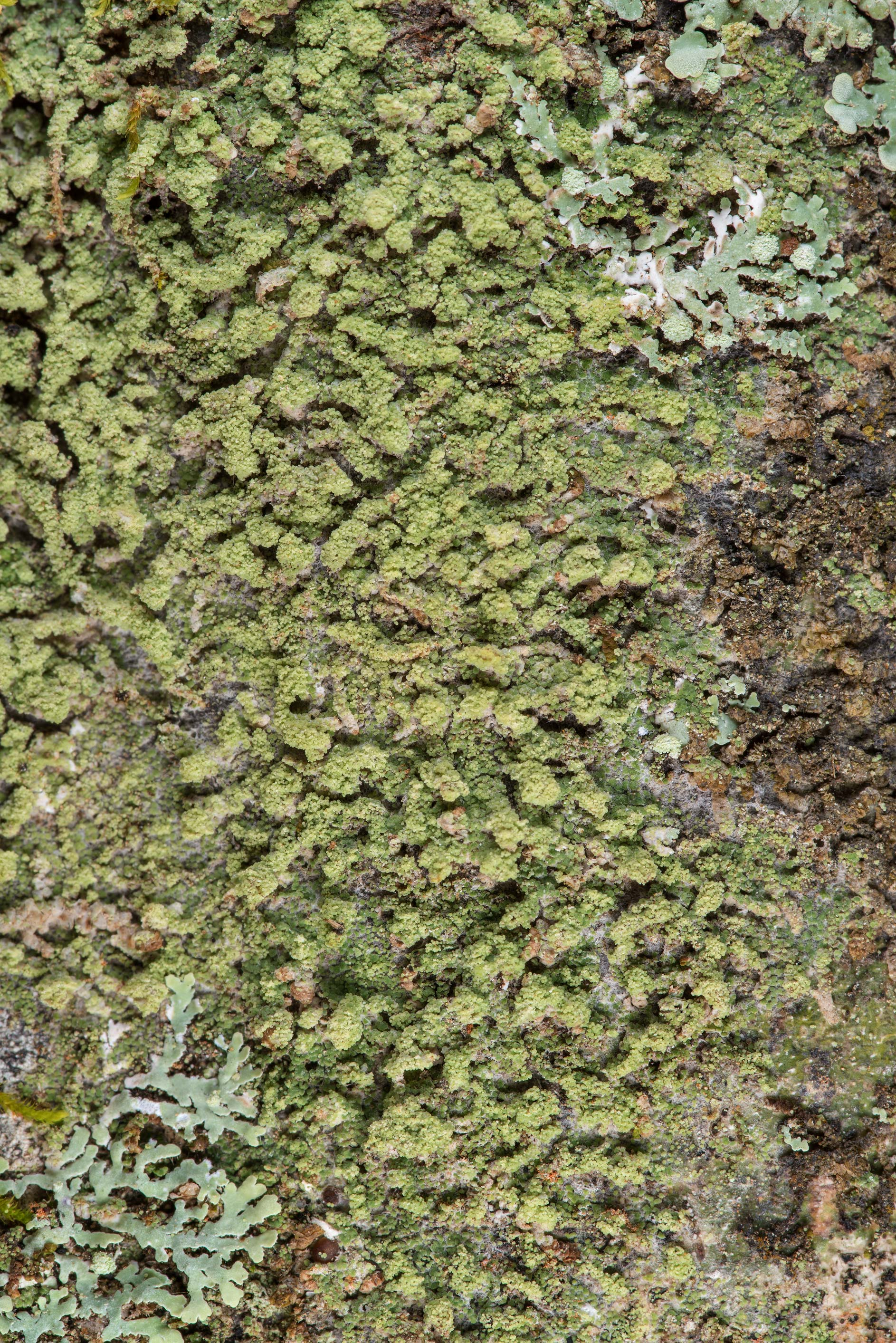 Lichen Phyllopsora confusa on an oak on Caney...National Forest near Huntsville. Texas