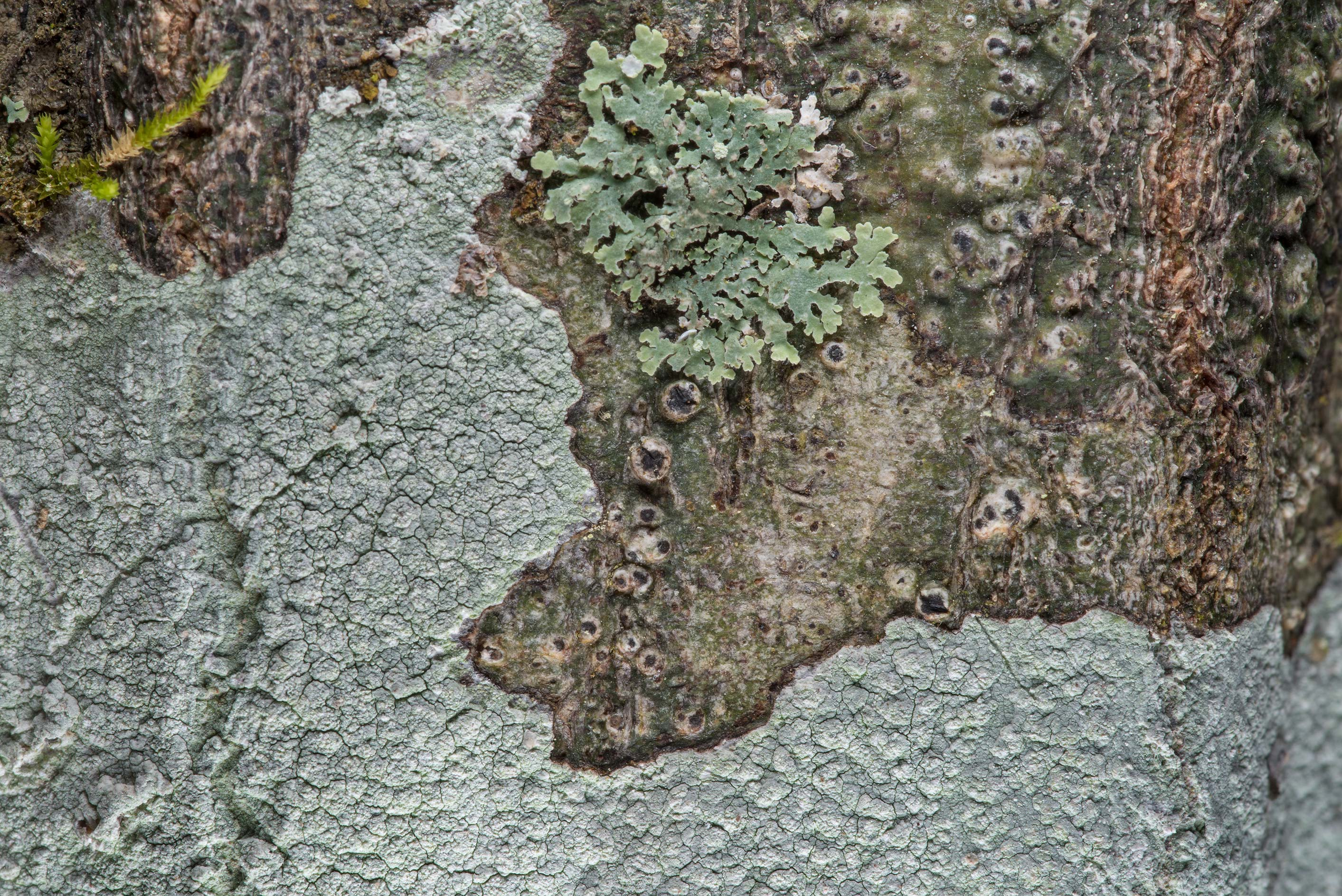 Various lichens on oak bark on Caney Creek...National Forest near Huntsville. Texas