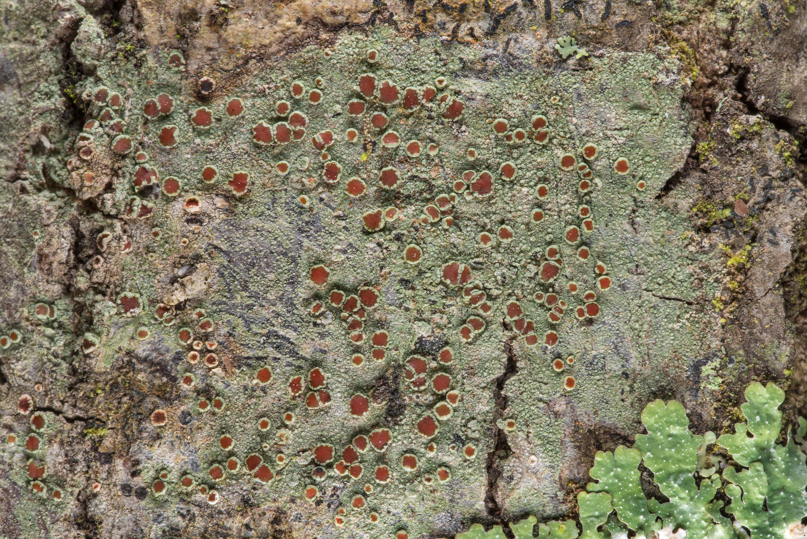 Brown apothecia of Lecanora lichen on an oak on...National Forest near Huntsville. Texas