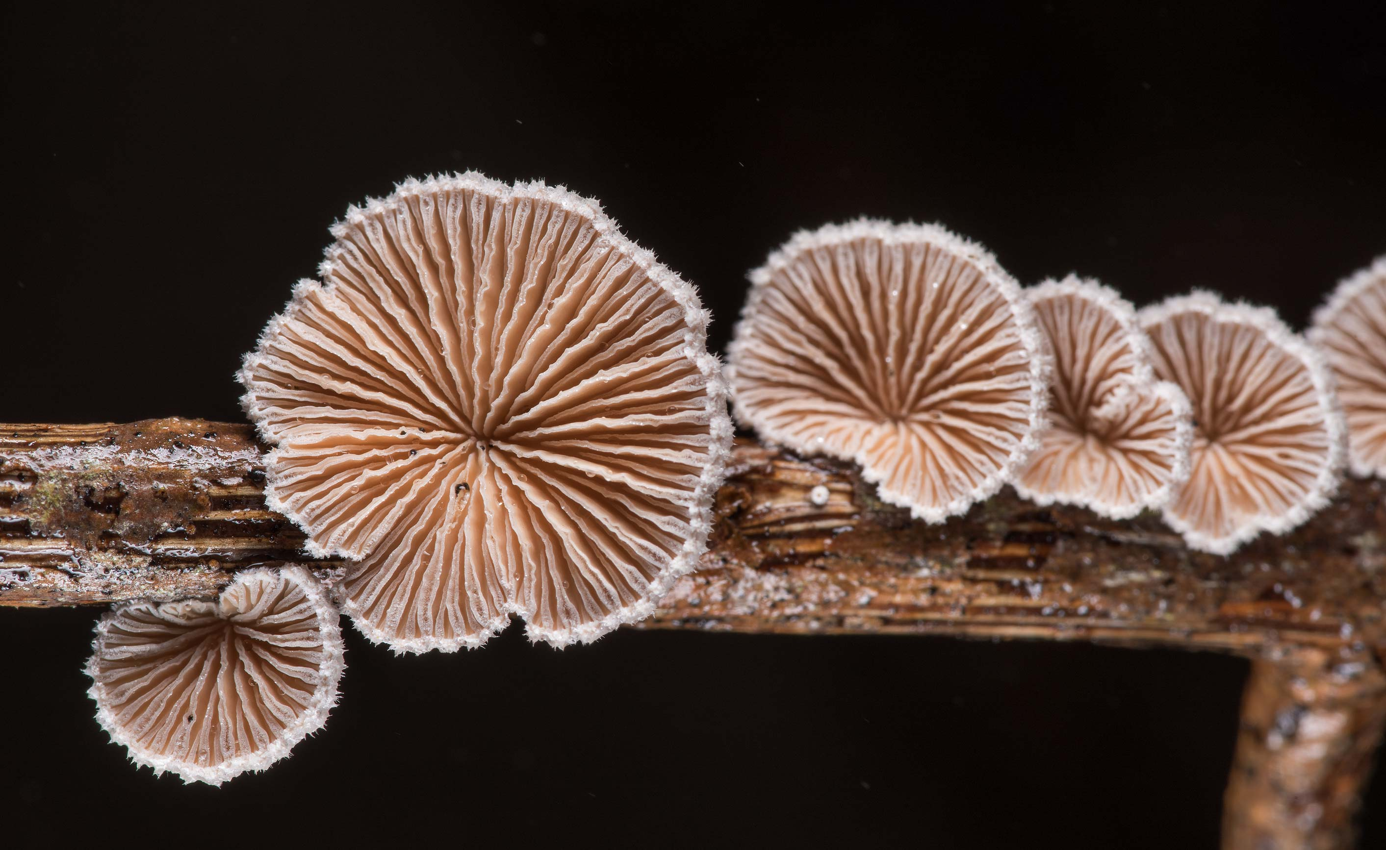 Underside of splitgill mushrooms (Schizophyllum...on Park Hudson Trail. Bryan, Texas