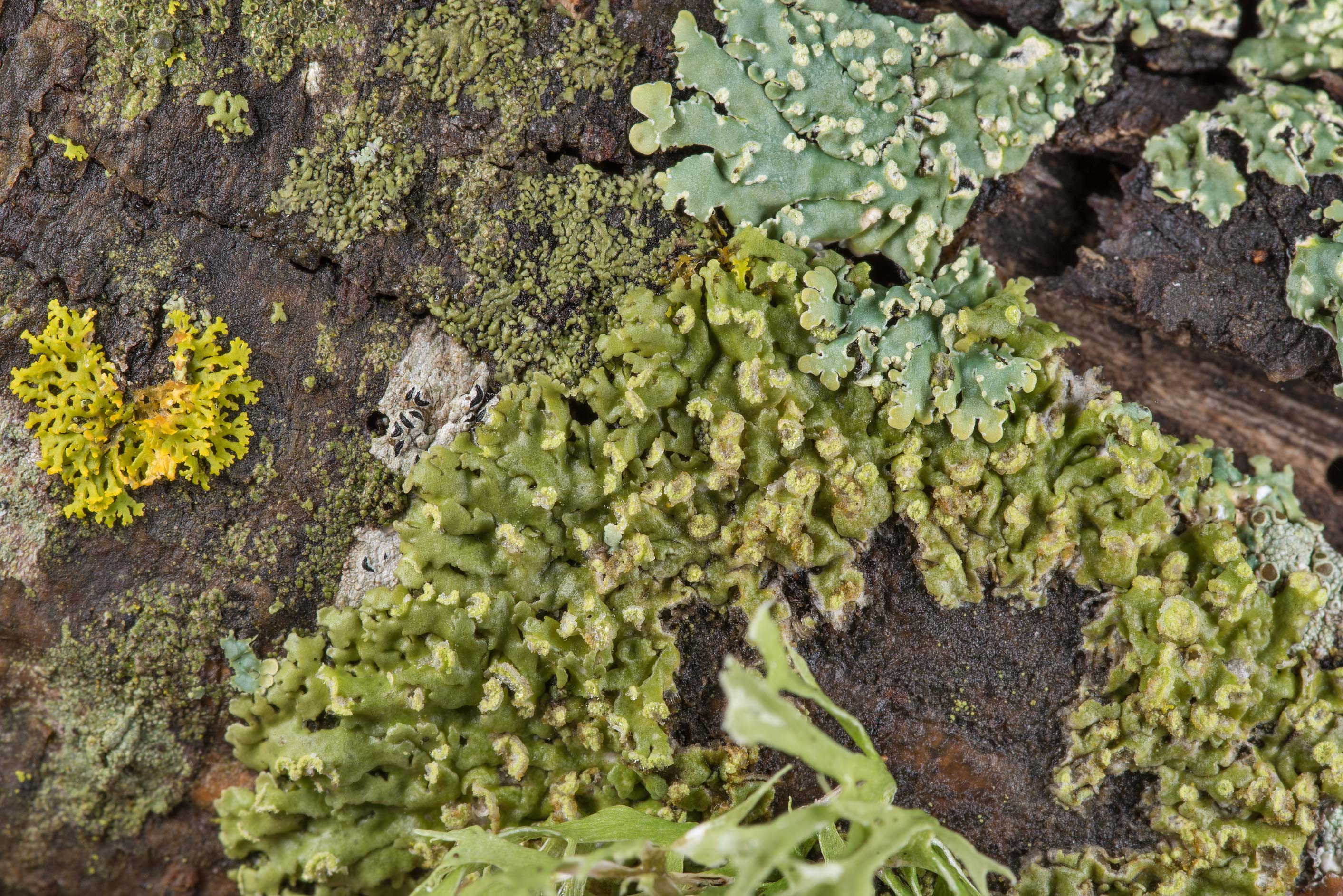 Cryptic rosette lichen (Physciella chloantha) on...near Park Hudson Trail. Bryan, Texas