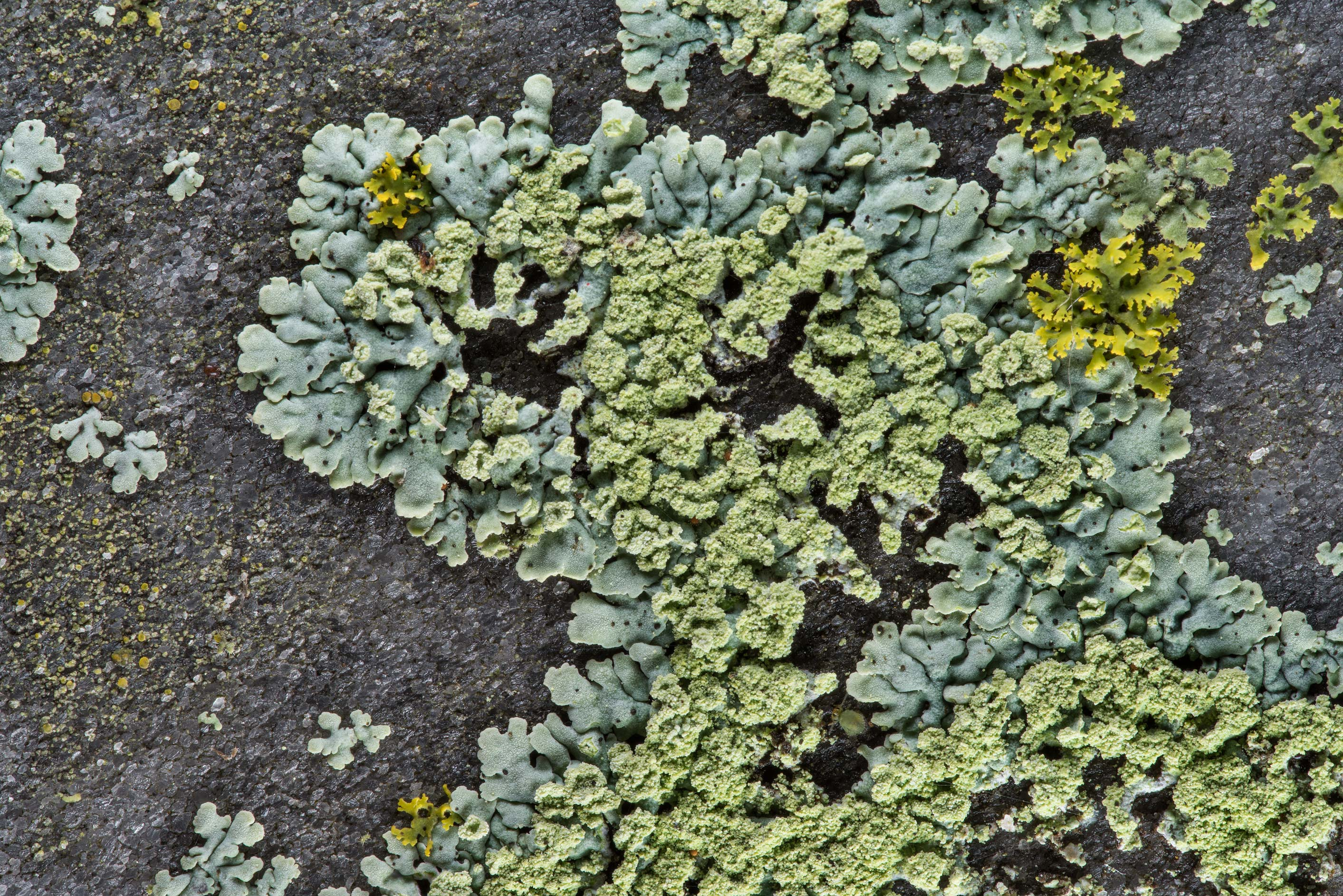 Rosette lichen (Physcia) on back of a grey marble...in Boonville Cemetery. Bryan, Texas