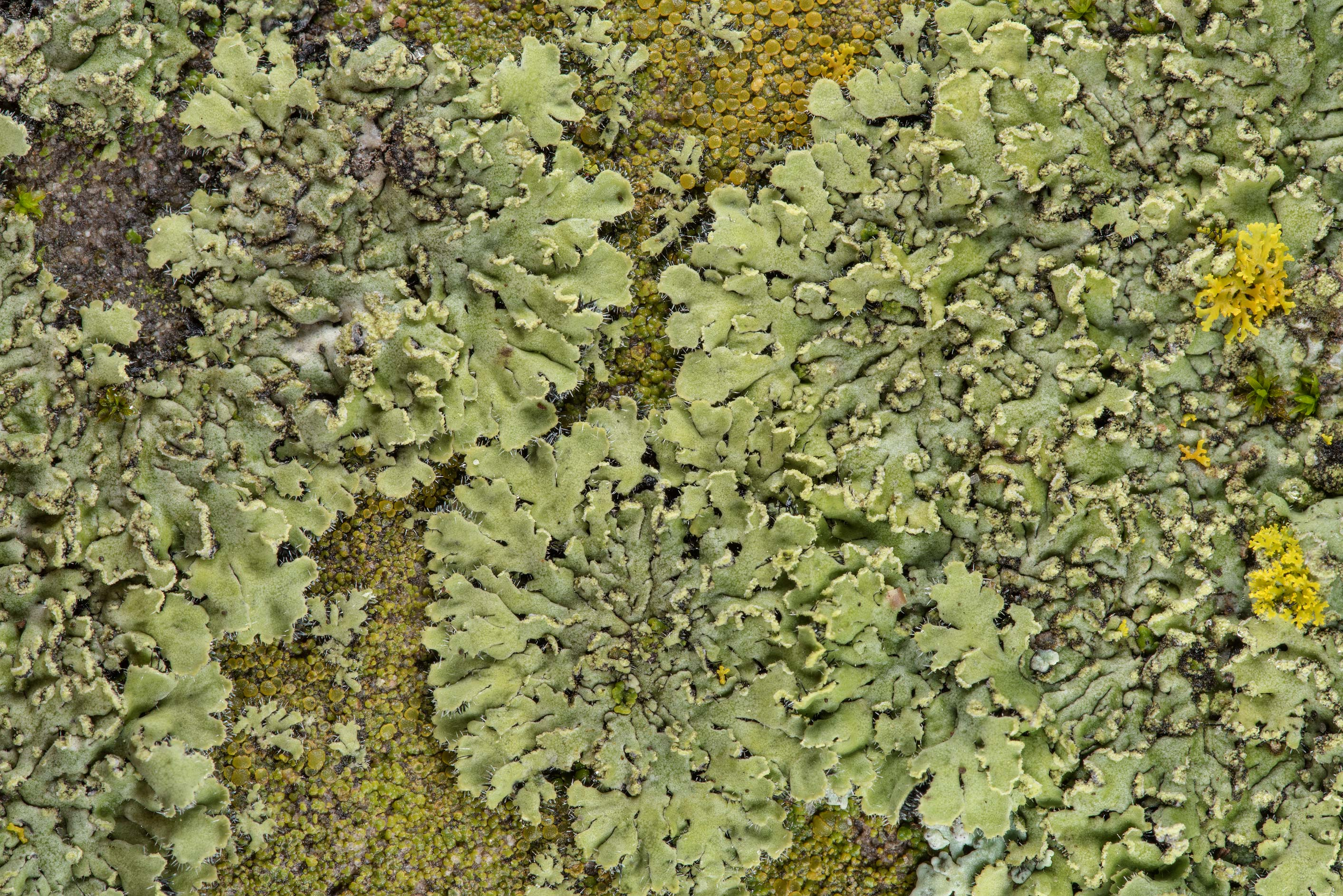 Close up of powdered shadow lichen (Phaeophyscia...in Boonville Cemetery. Bryan, Texas