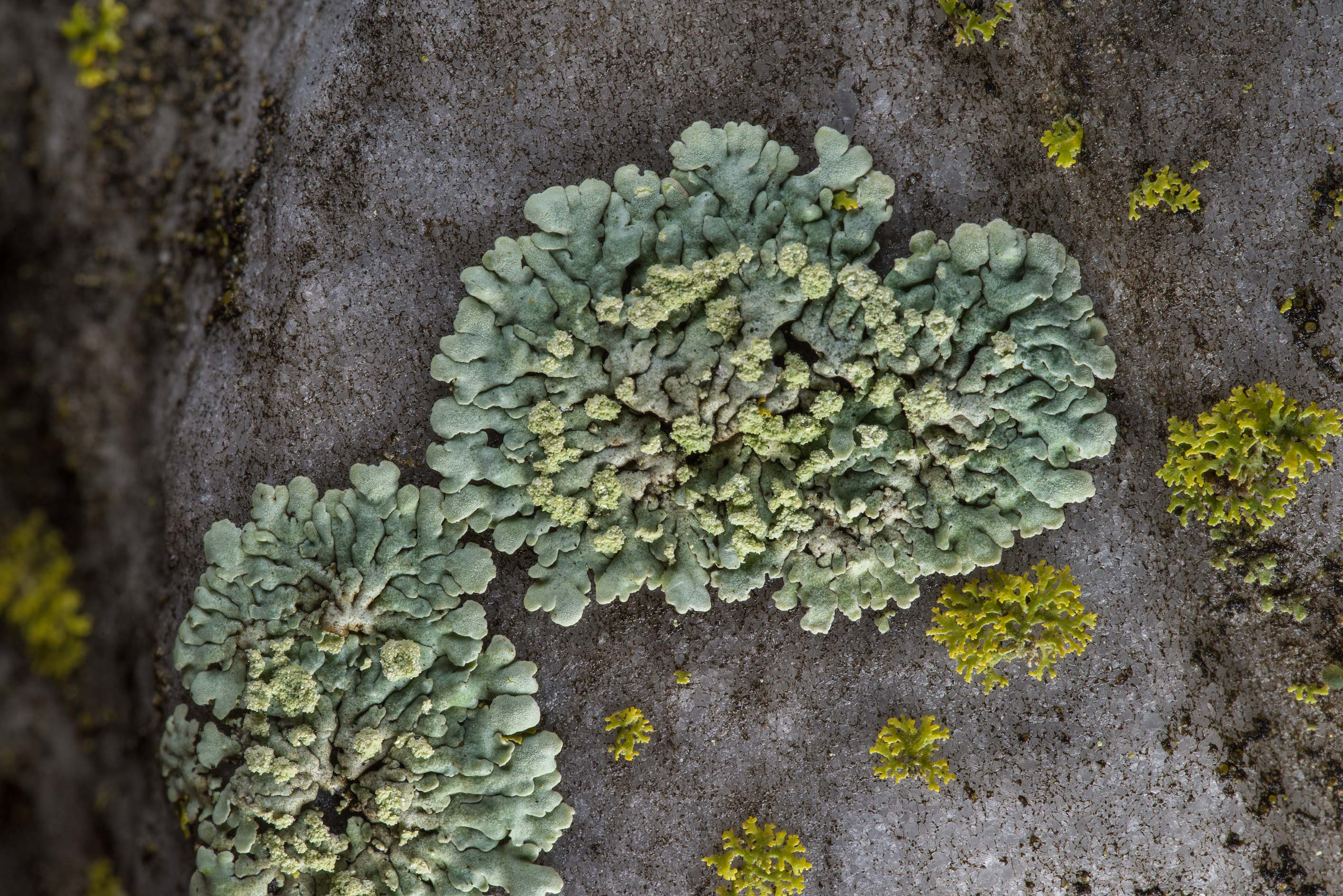 Small rosettes of Pyxine lichen on marble in Boonville Cemetery. Bryan, Texas