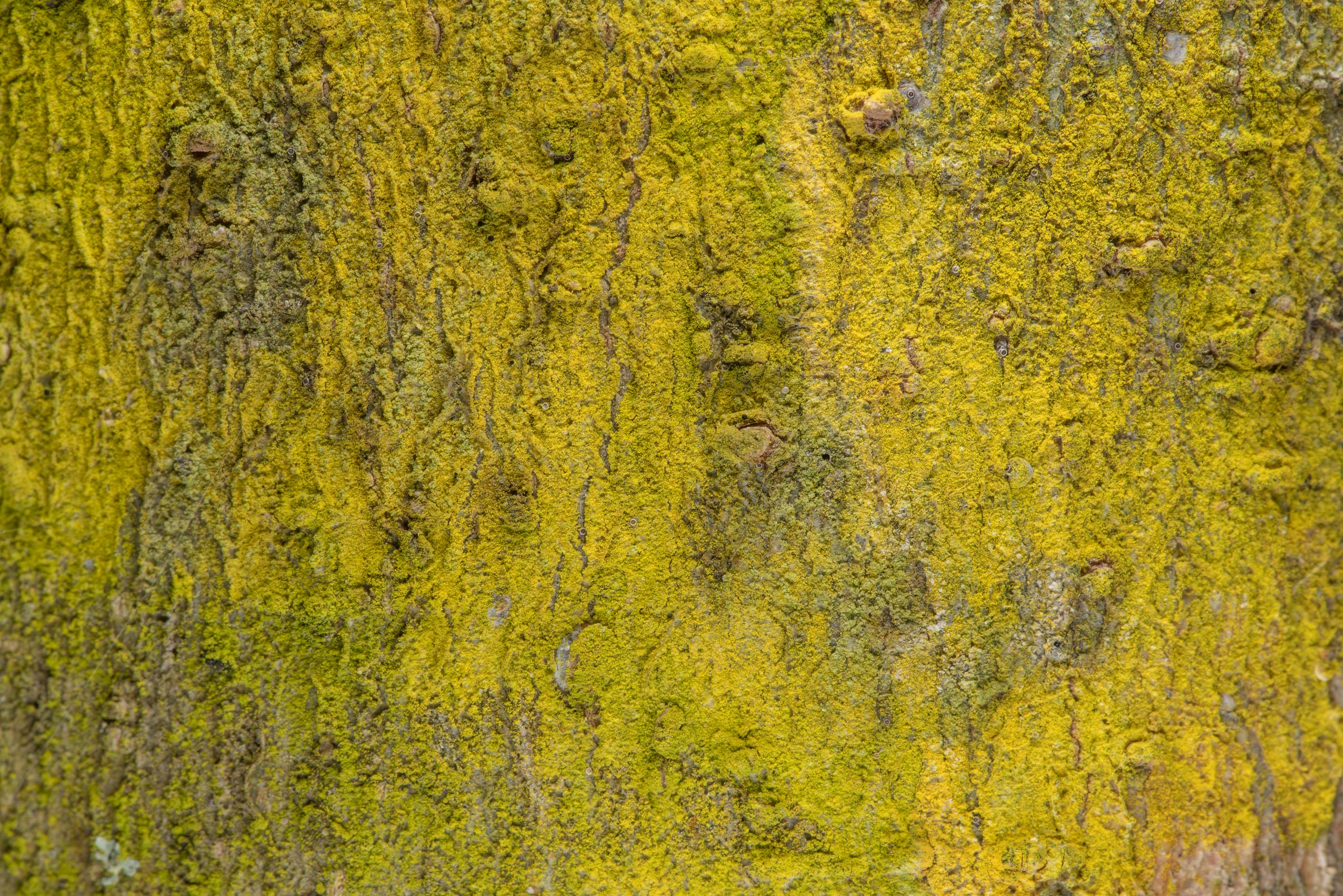 Gold dust lichen Chrysothrix xanthina on tree bark on Turkey Creek Trail. Bryan, Texas