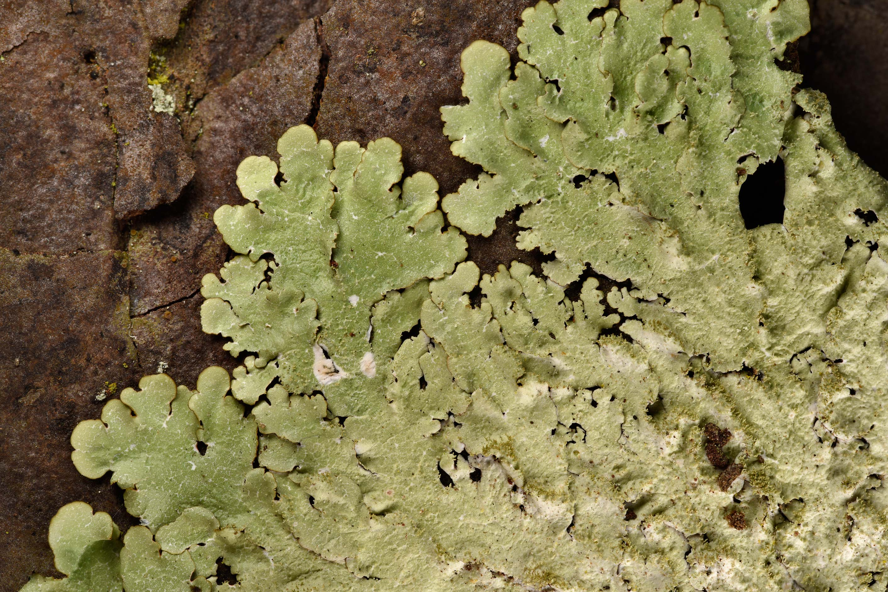 Carolina shield lichen (Canoparmelia caroliniana...National Forest. Shepherd, Texas