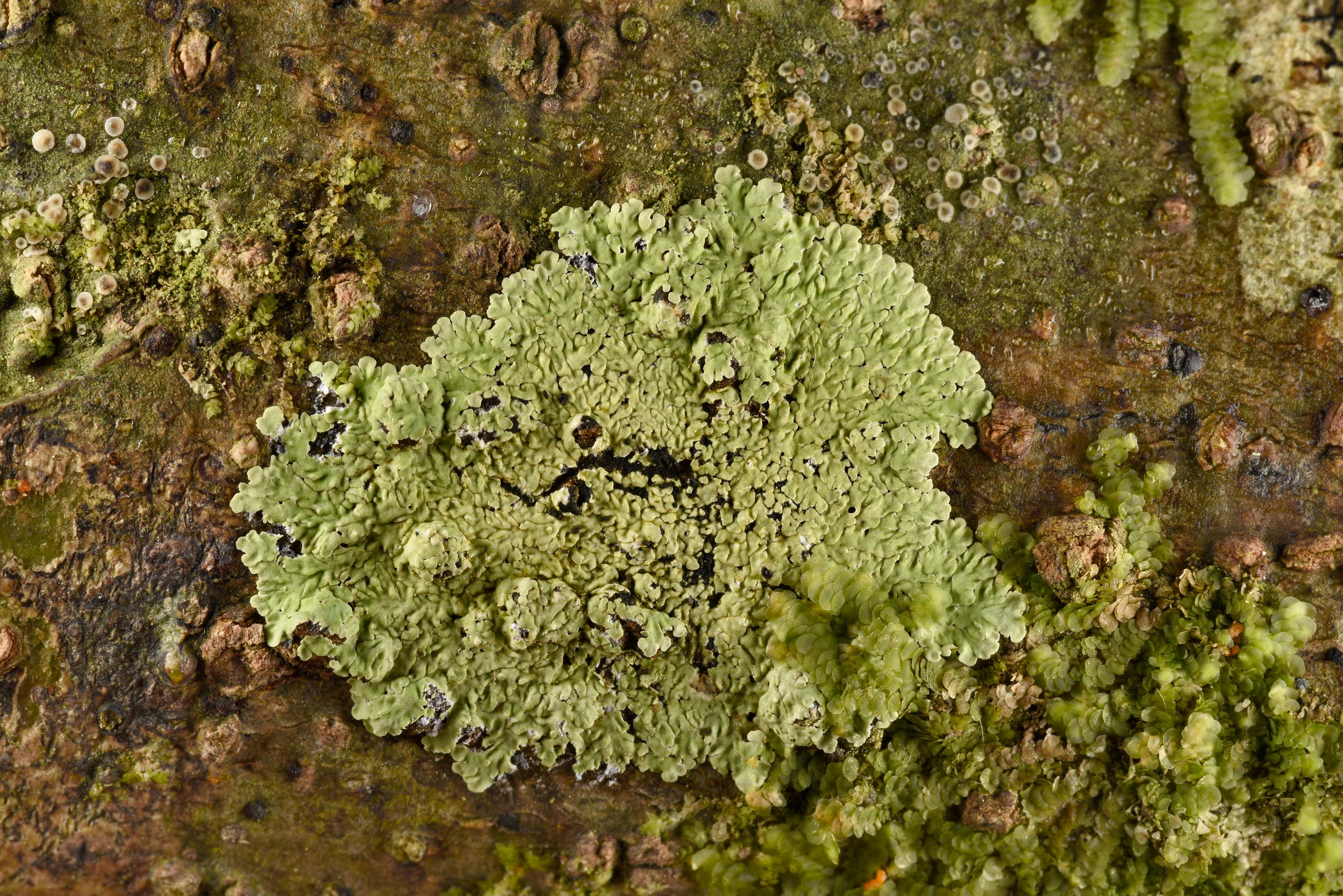 Buttoned rosette lichen (Pyxine) in Big Creek...National Forest. Shepherd, Texas