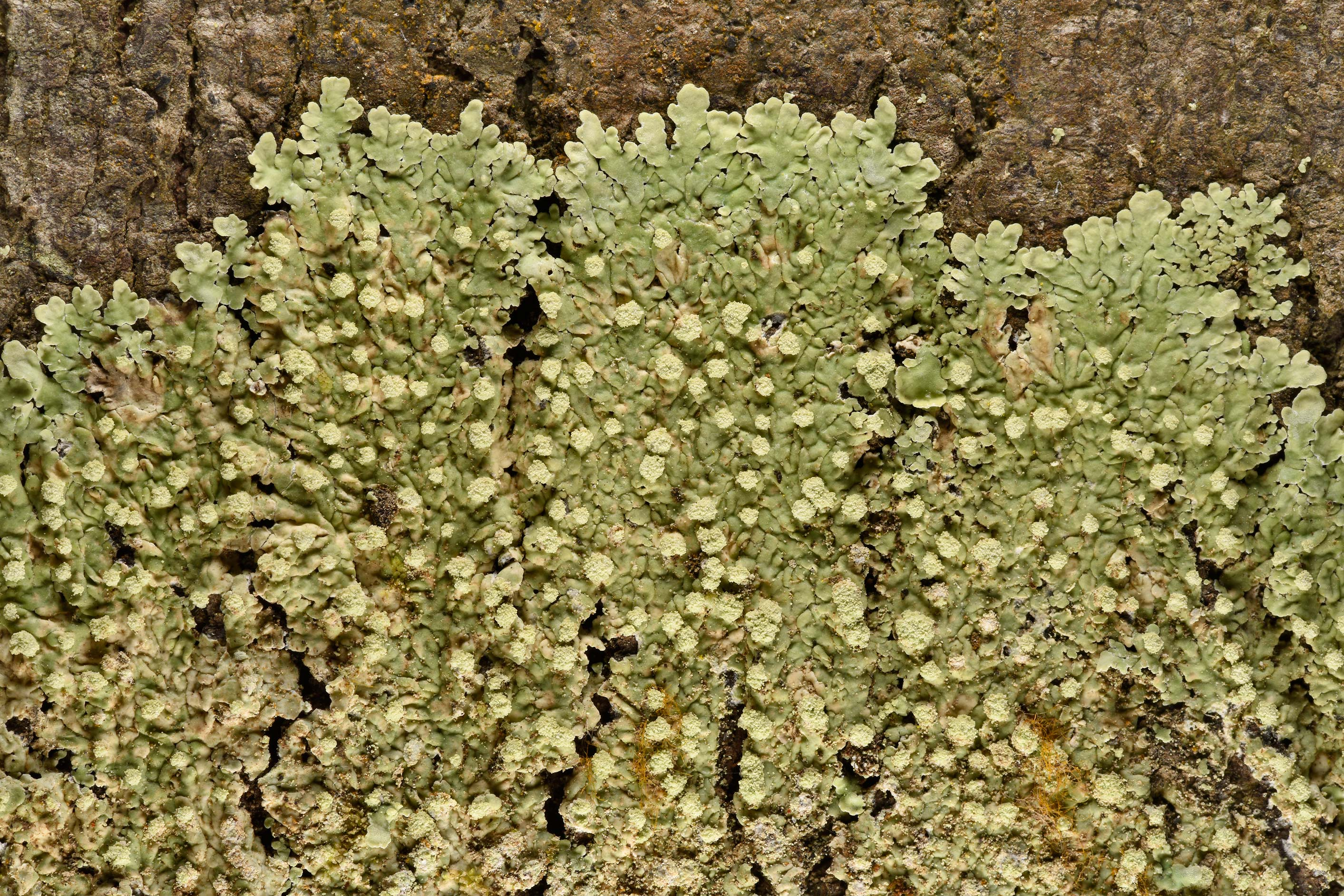 Pyxine lichen on tree bark in Big Creek Scenic...National Forest. Shepherd, Texas