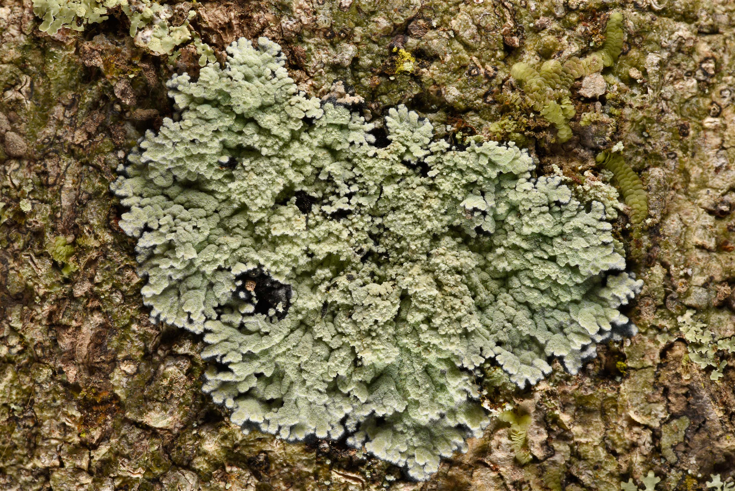 Lobed cotton lichen (Crocynia pyxinoides) on a...National Forest. Shepherd, Texas