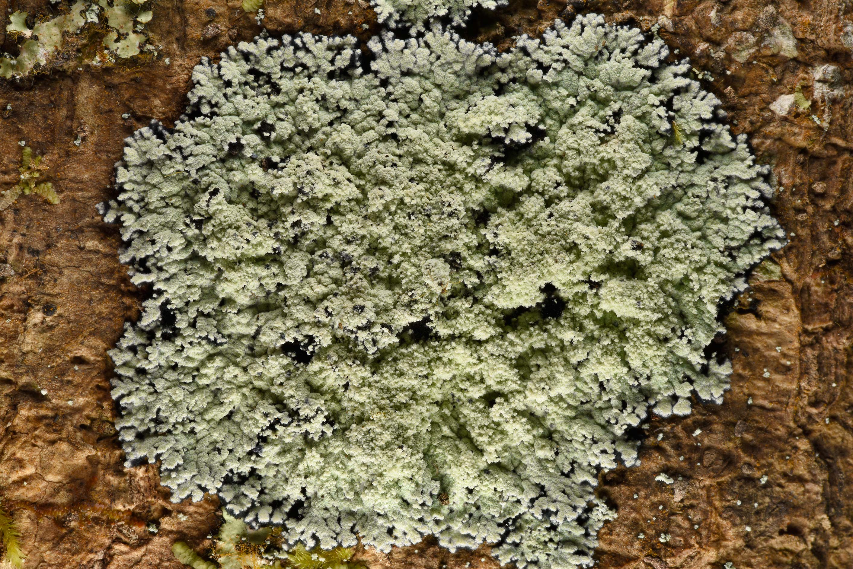 Lobed cotton lichen (Crocynia pyxinoides) on tree...National Forest. Shepherd, Texas