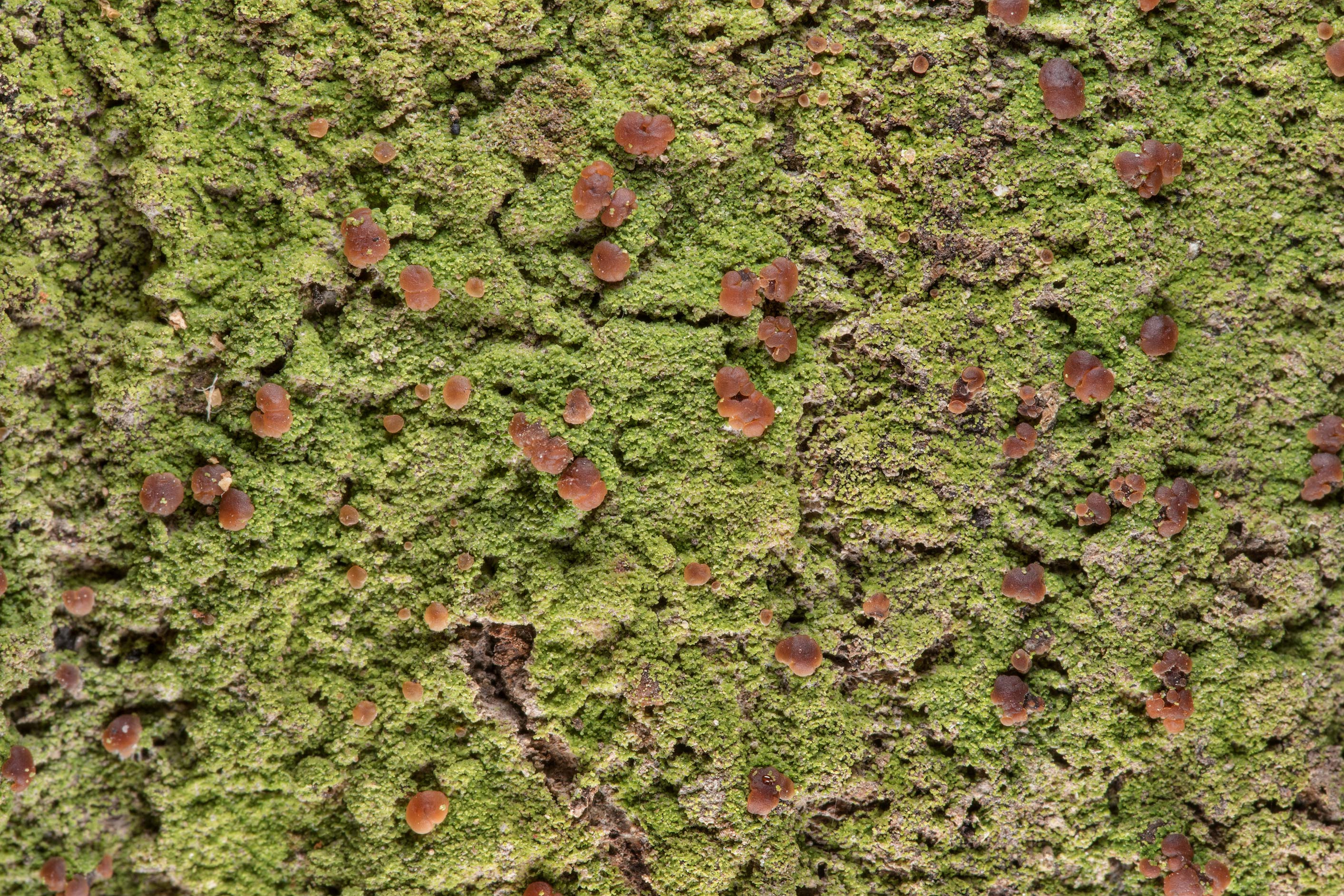 Lichen Phyllopsora confusa on a tree near the...National Forest. Shepherd, Texas