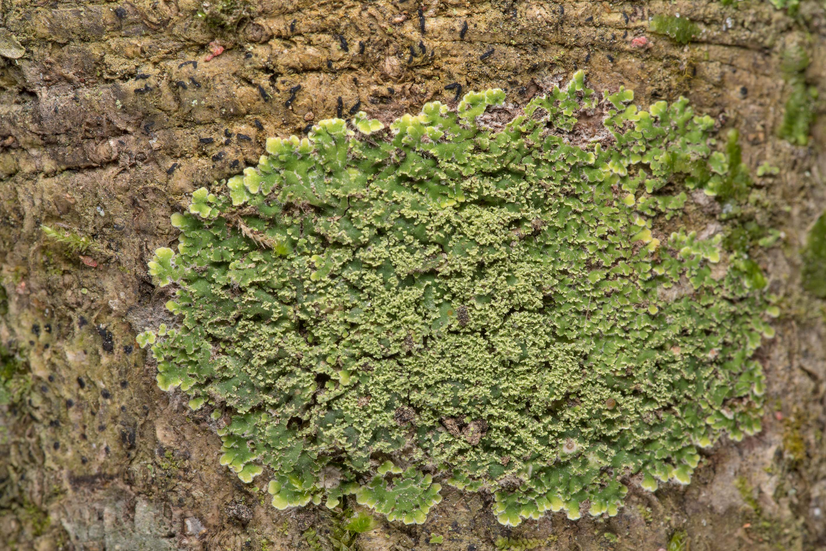Green patch of lace-scale lichen Phyllopsora...National Forest. Shepherd, Texas