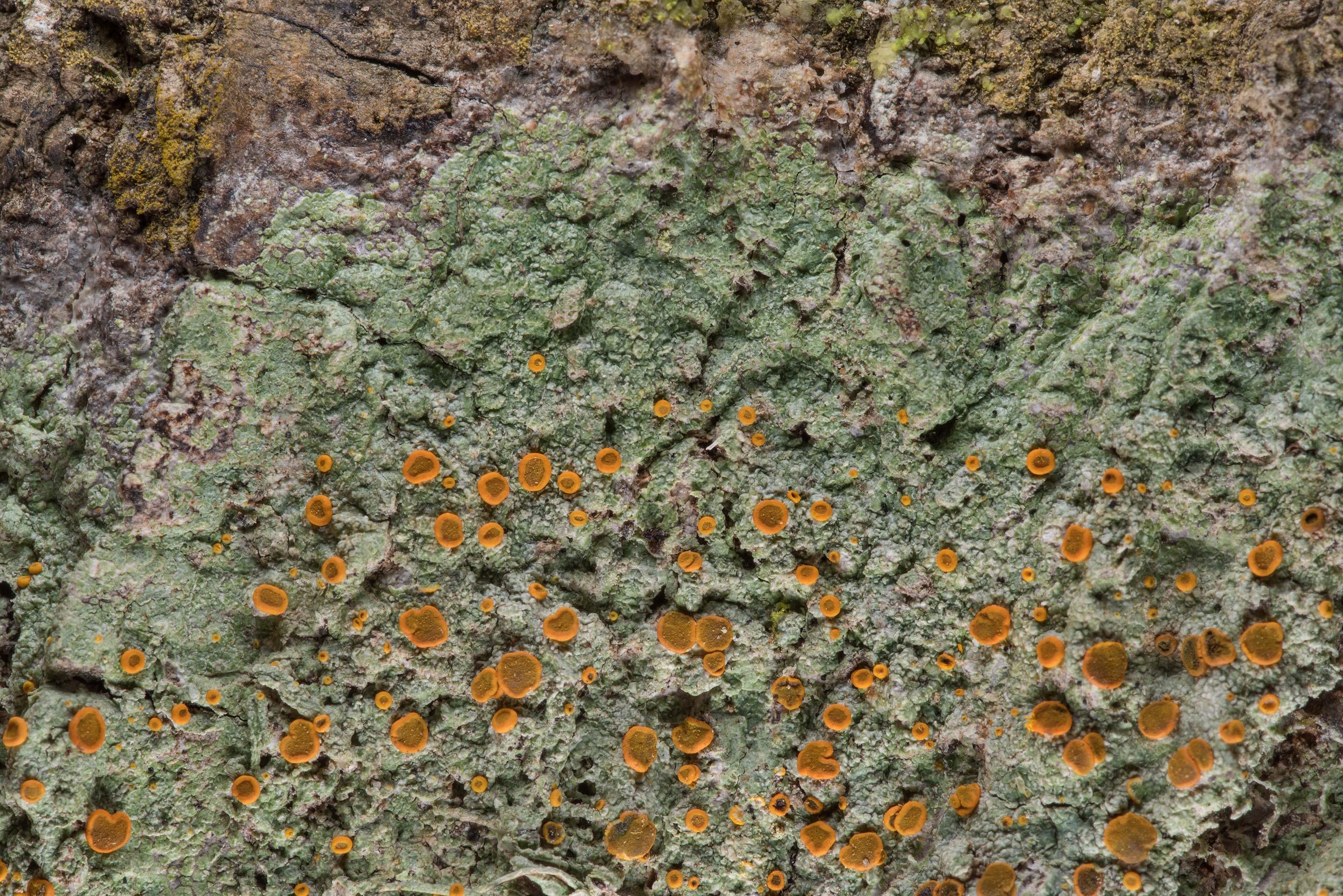 Brick-spored firedot lichen Brigantiaea...National Forest. Shepherd, Texas