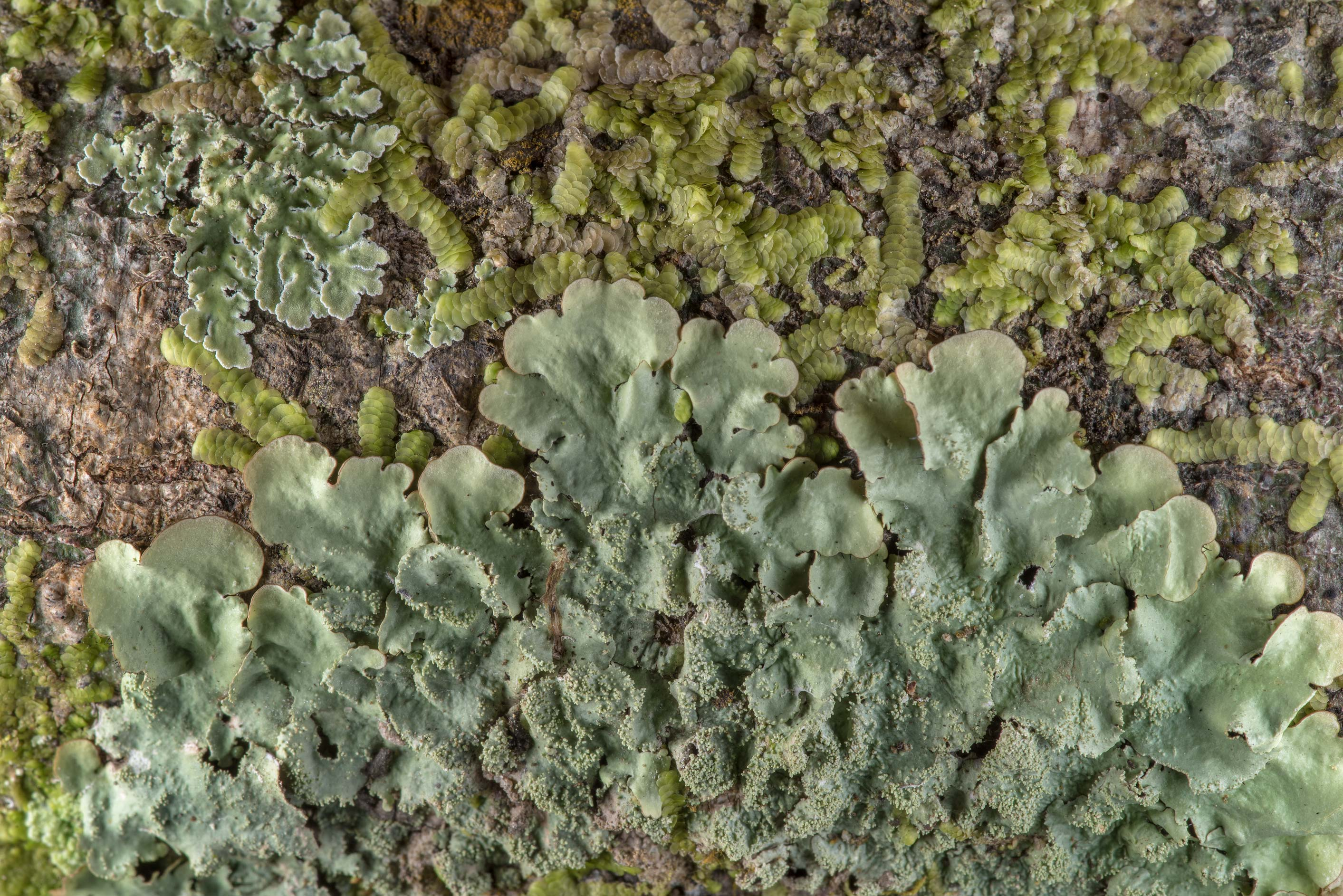 Ruffle lichen (Parmotrema) on tree bark in Big...National Forest. Shepherd, Texas