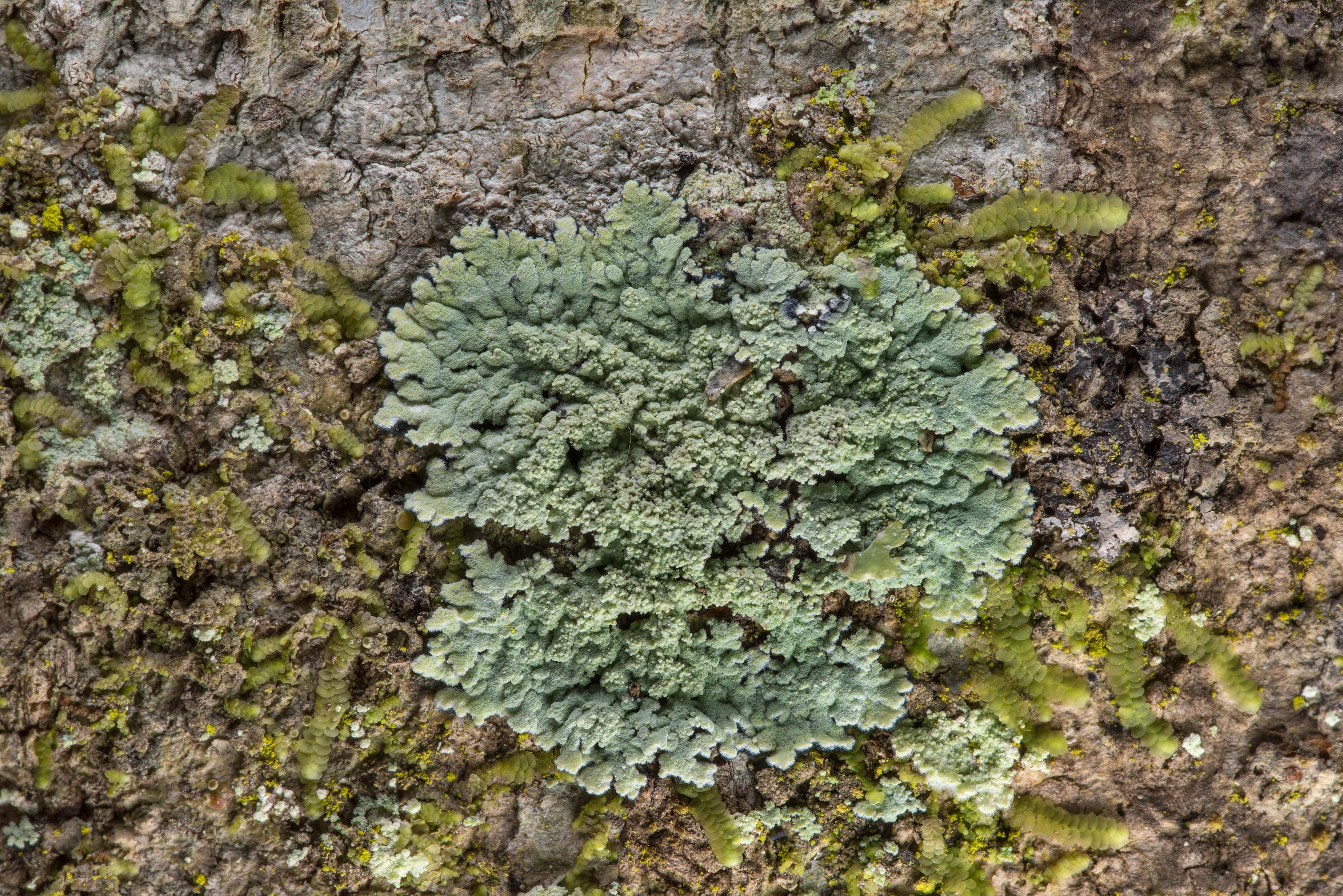 Small patch of lobed cotton lichen (Crocynia...National Forest. Shepherd, Texas
