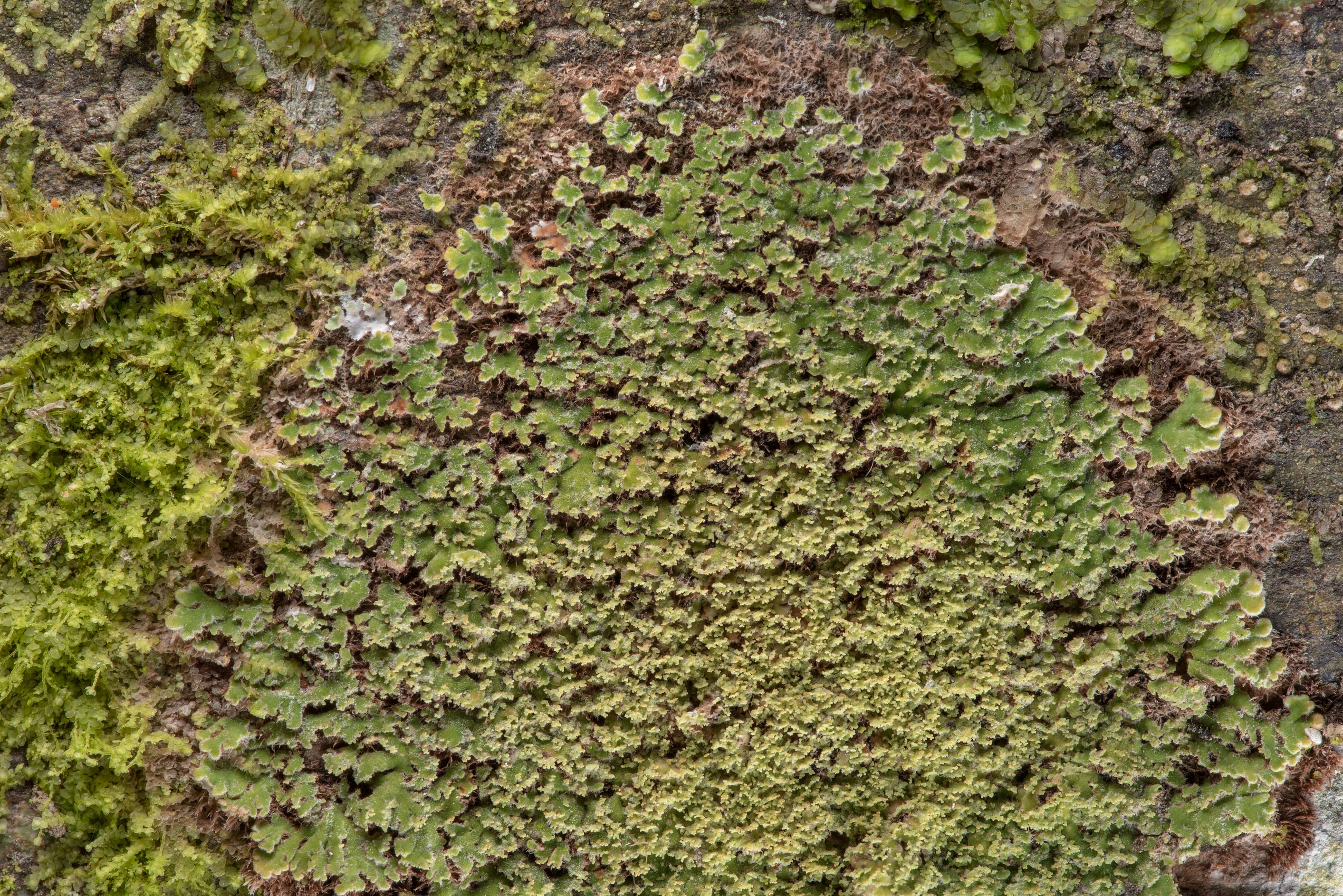 Lace-scale lichen Phyllopsora parvifolia on a...National Forest. Shepherd, Texas