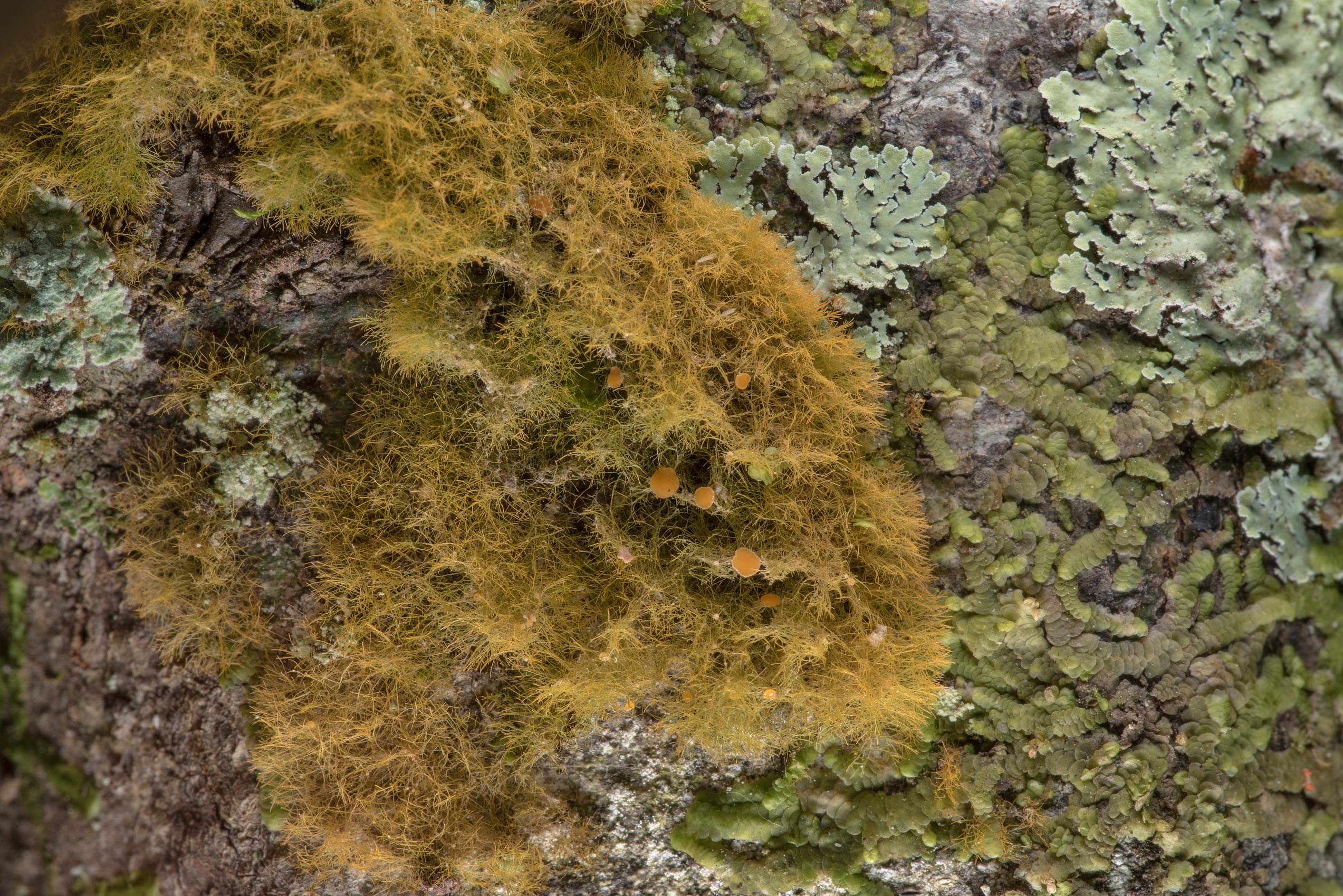 Pixie-hair lichen (Coenogonium implexum) with...National Forest. Shepherd, Texas