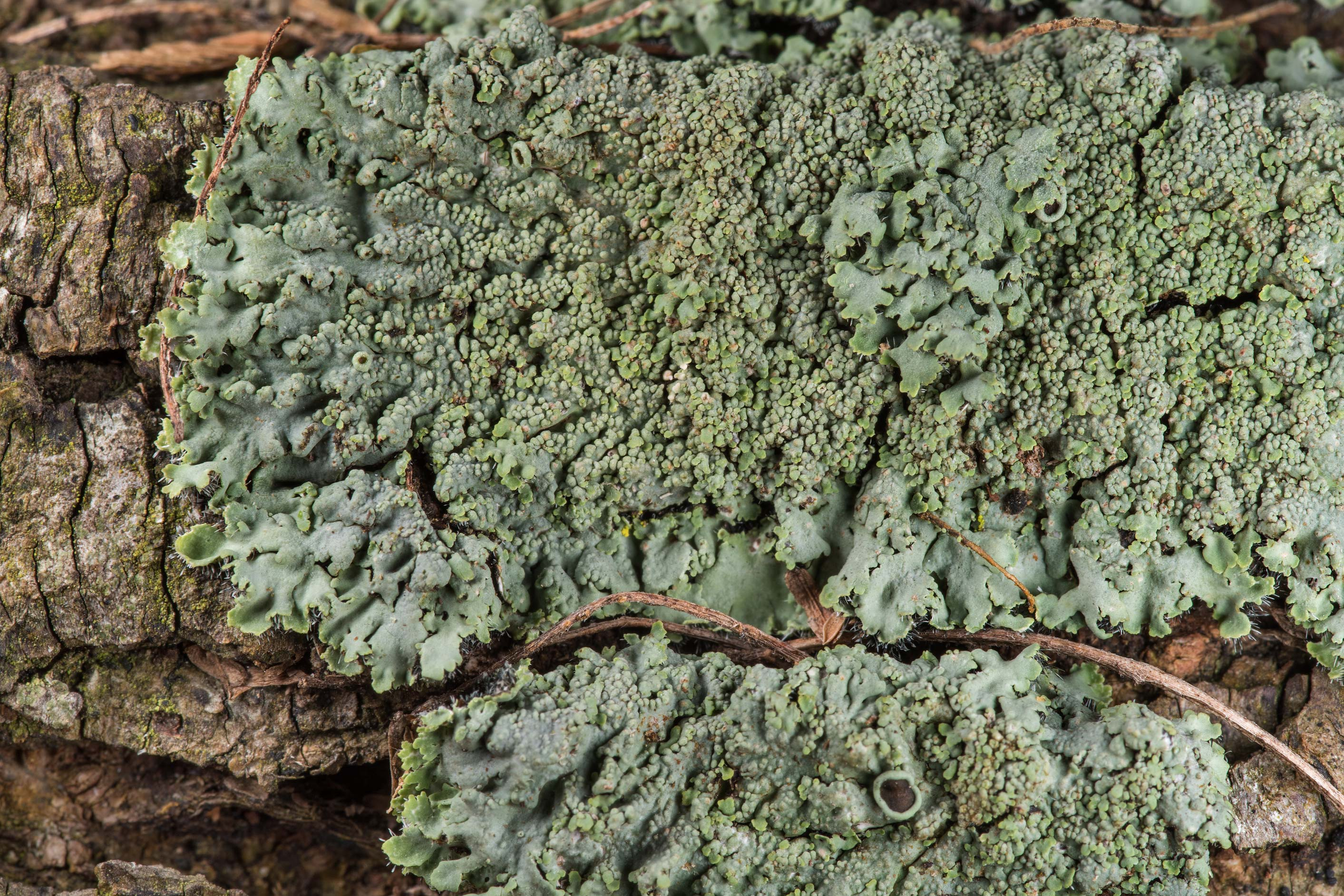 Close up of Phaeophyscia lichen on a large...State Historic Site. Washington, Texas