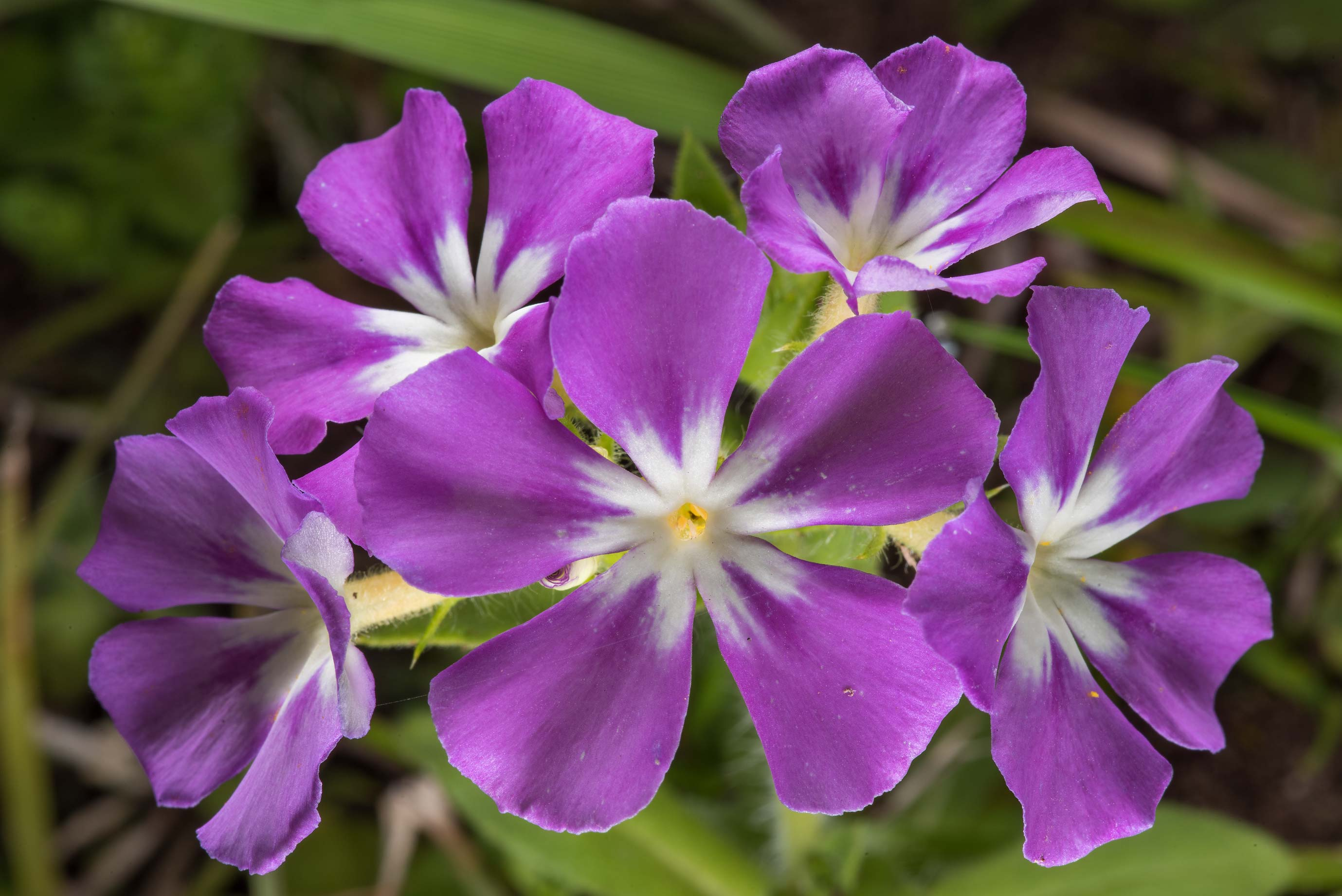 Blooming phlox in Washington-on-the-Brazos State Historic Site. Washington, Texas