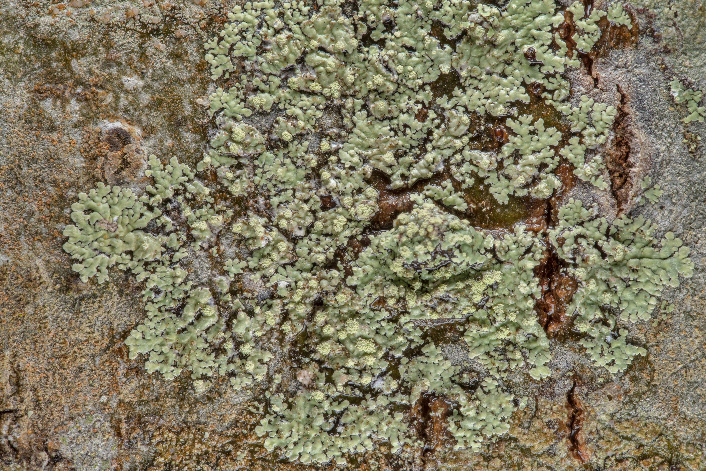 Pyxine lichen on a tree in Lick Creek Park. College Station, Texas