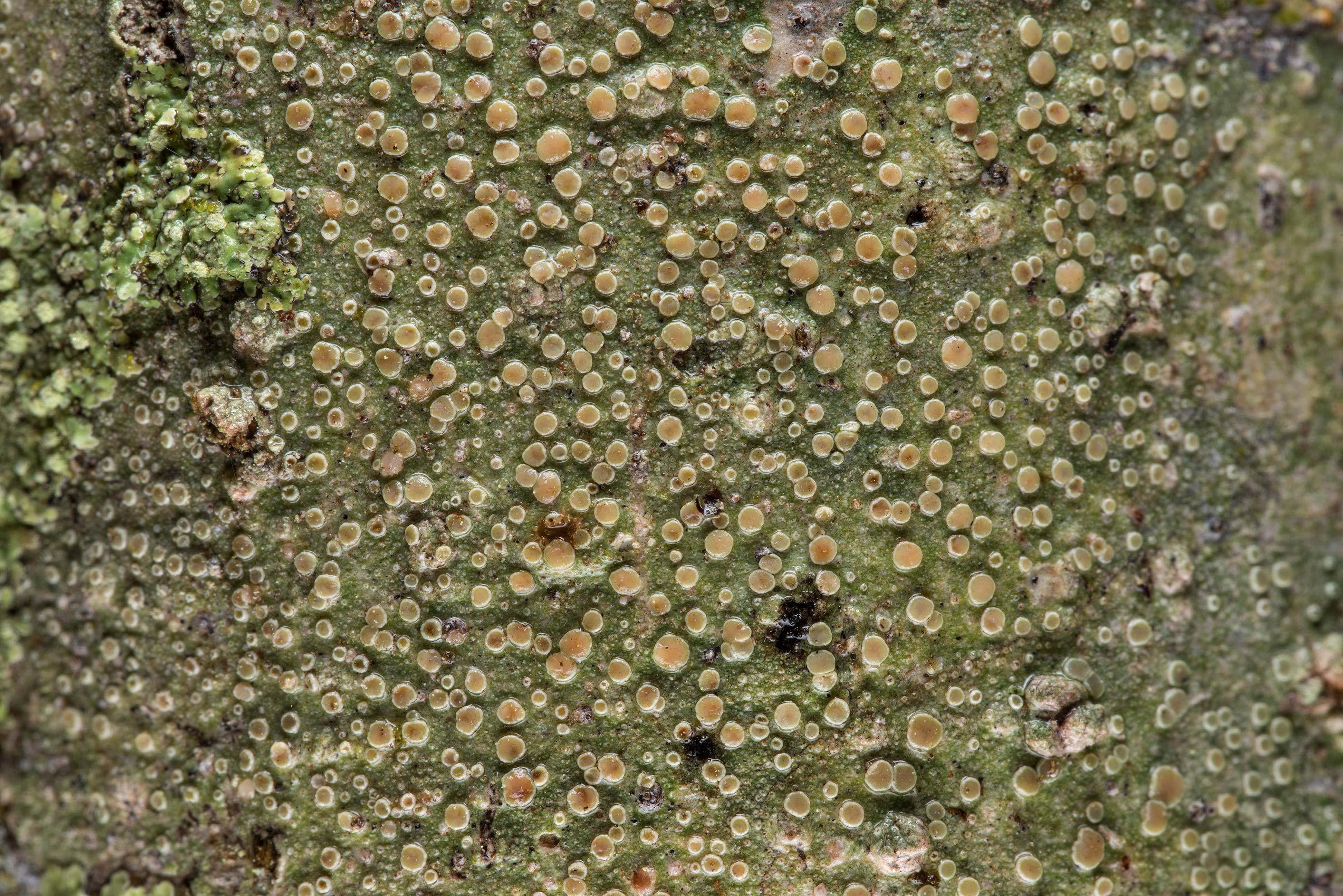 Mealy rim-lichen (Lecanora strobilina) on a tree...Creek Park. College Station, Texas