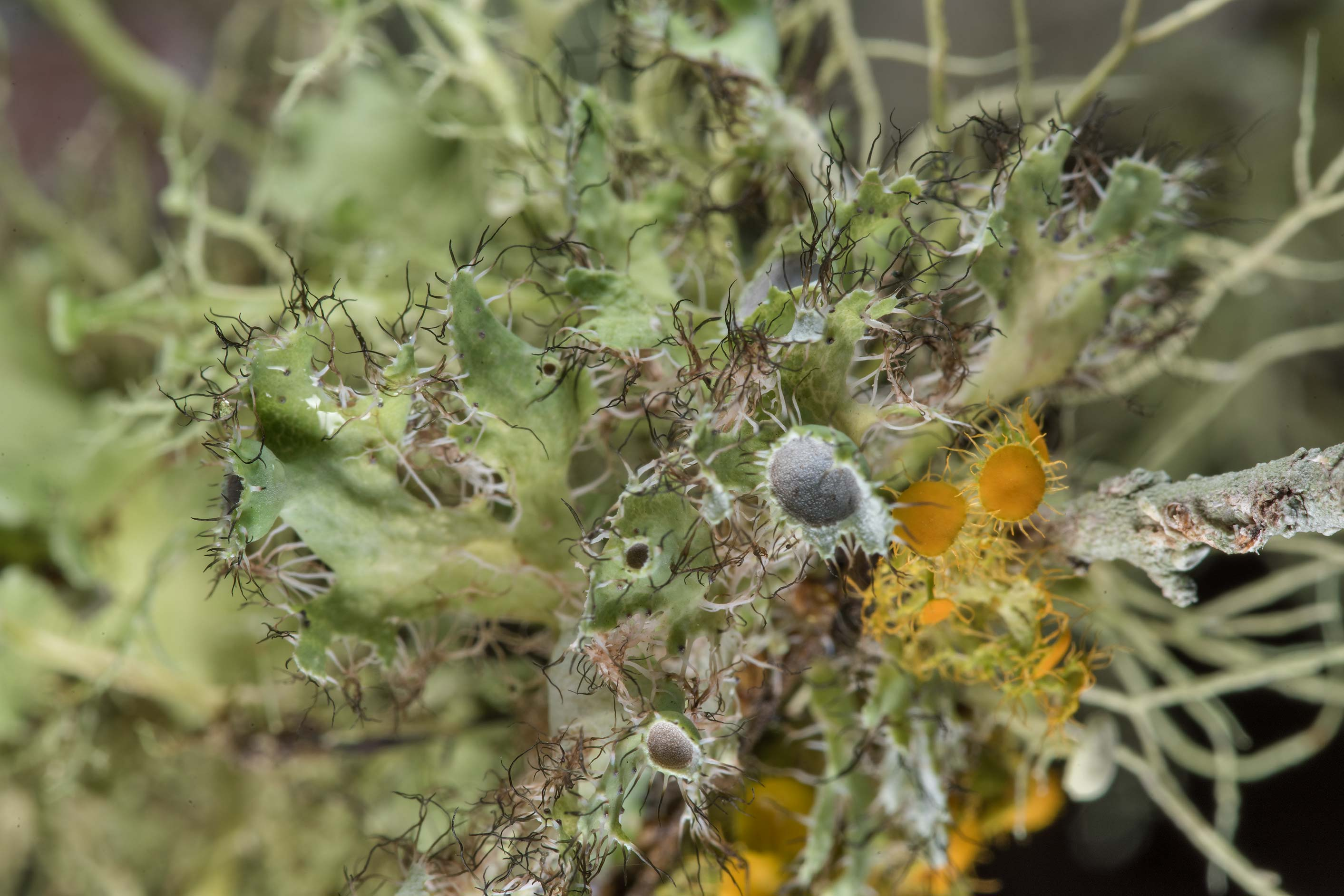 Flowering fringe lichen (Heterodermia echinata...Creek Park. College Station, Texas