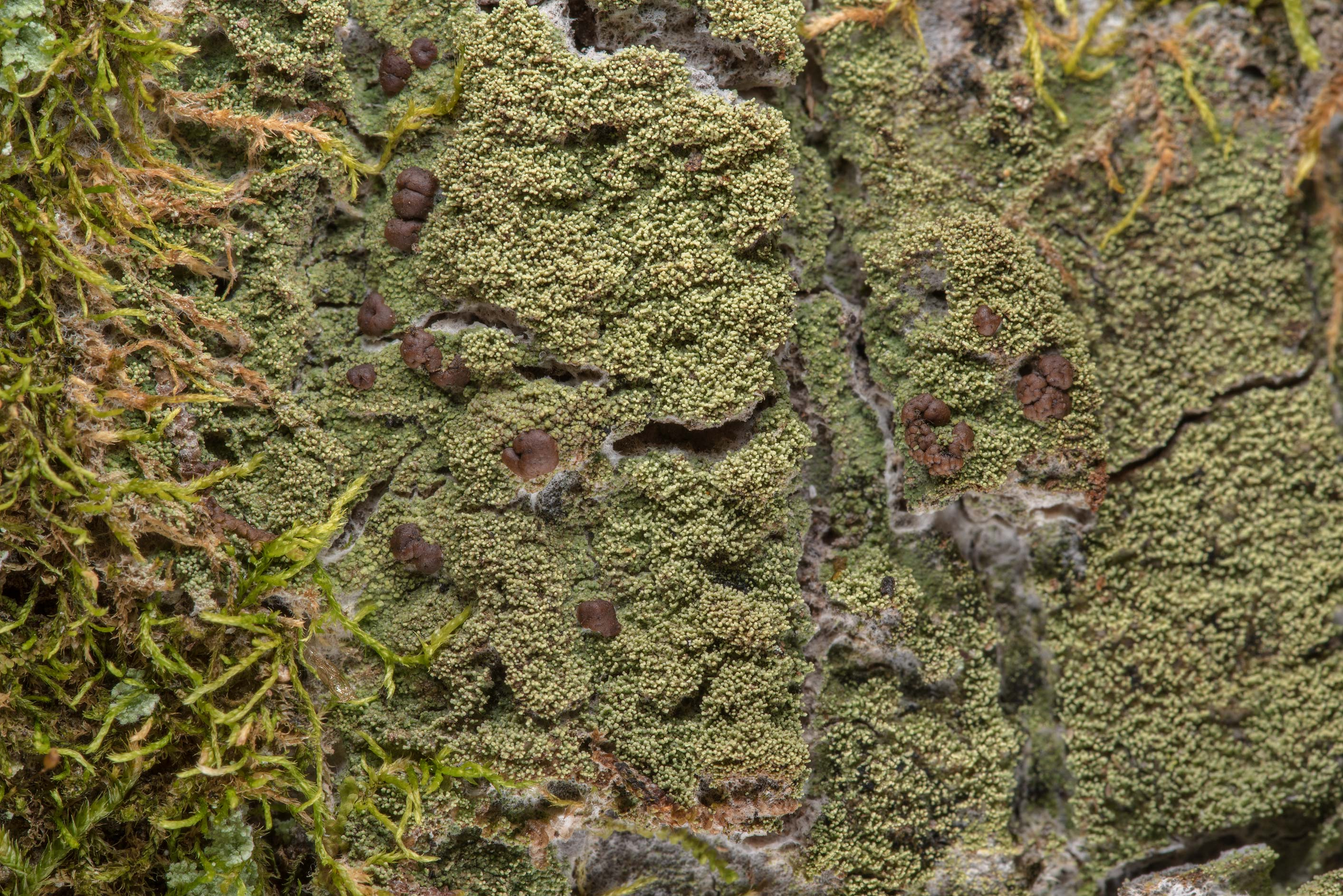 Lichen Phyllopsora isidiotyla on a tree on Lone...National Forest. Richards, Texas