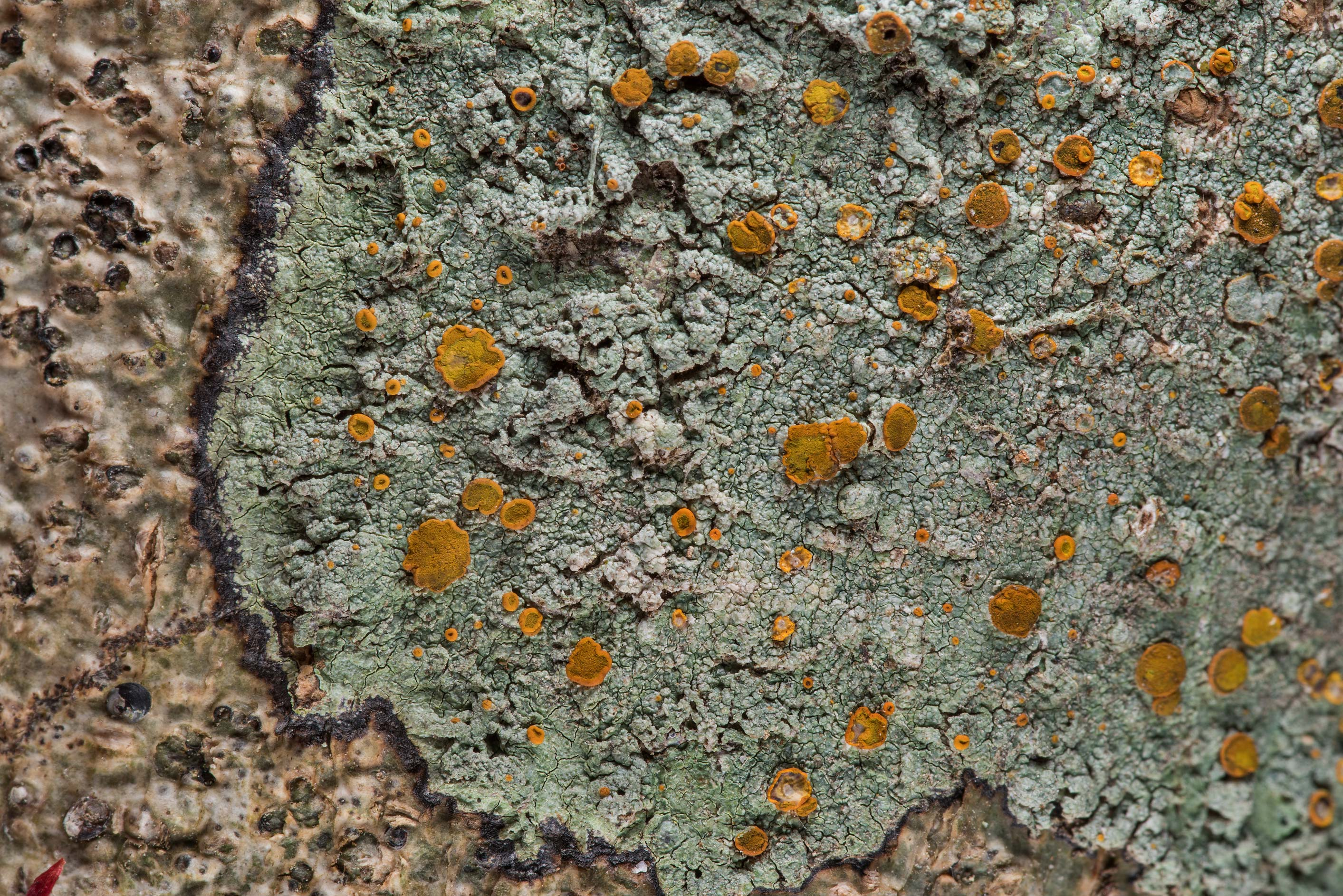 Brick-spored firedot lichen Brigantiaea...National Forest. Richards, Texas