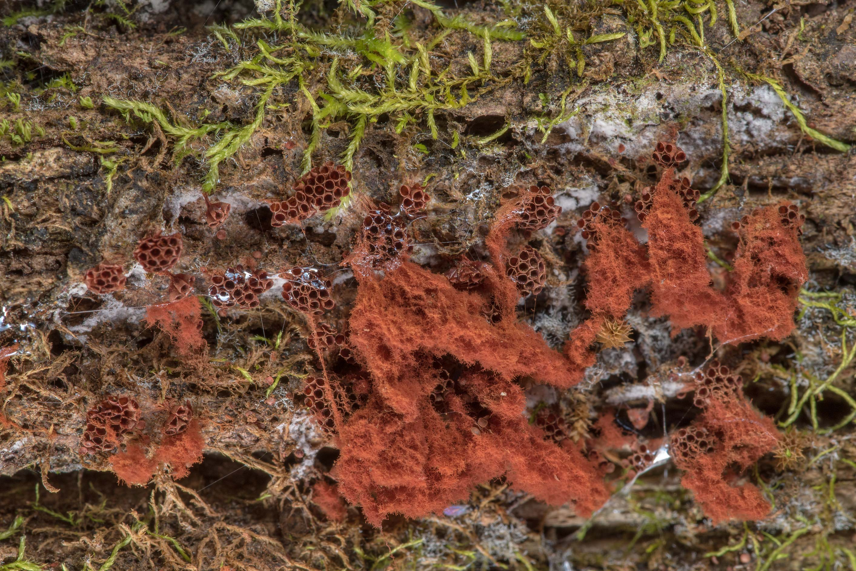 Wasp nest slime mold (Metatrichia vesparia) on a...National Forest. Richards, Texas