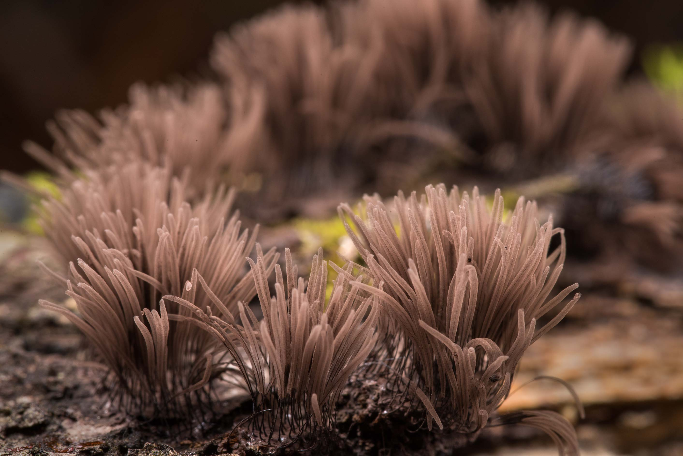 Close up of chocolate tube slime mold (Stemonitis...National Forest. Richards, Texas
