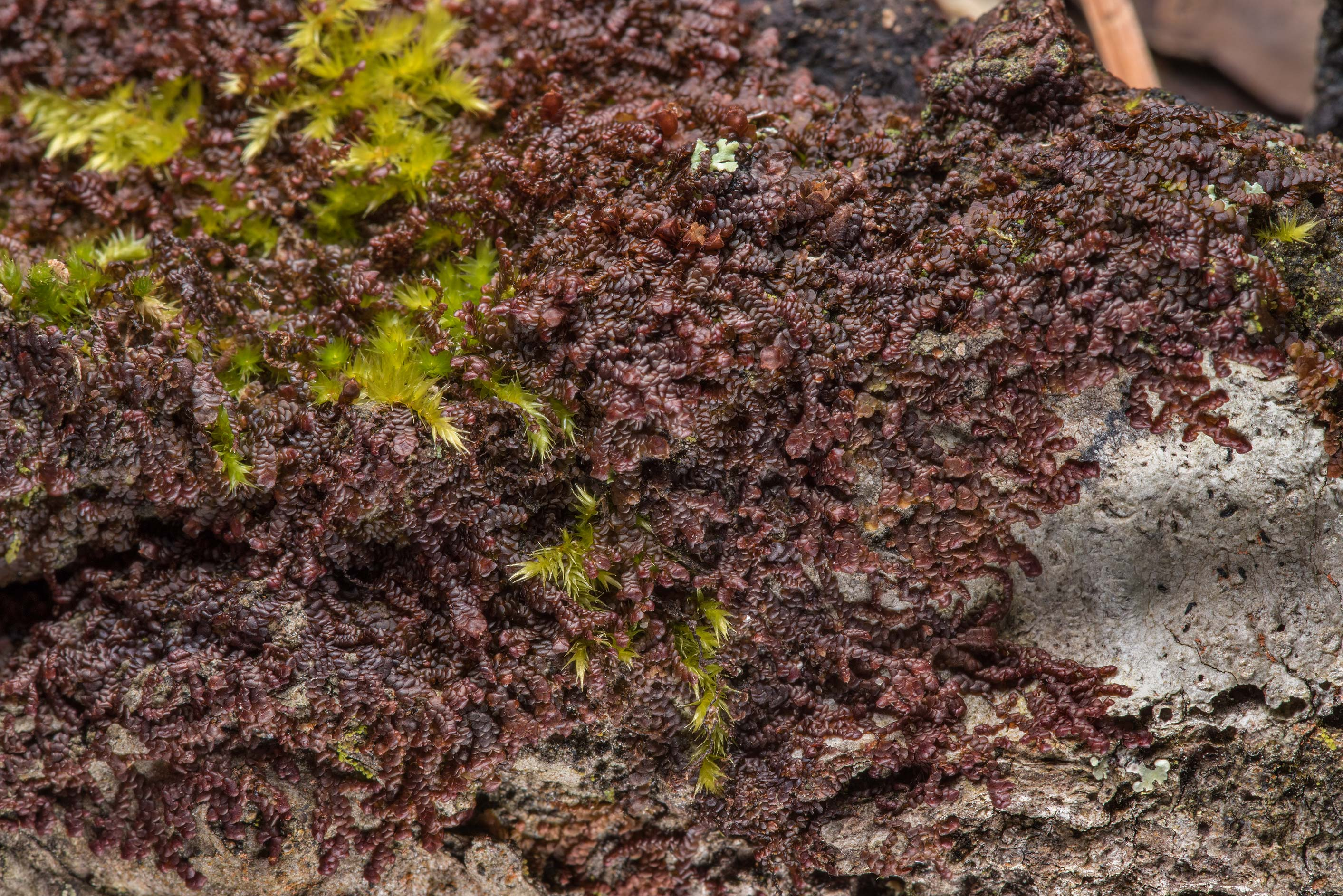 Small reddish-brown tree liverwort Frullania on...National Forest. Richards, Texas