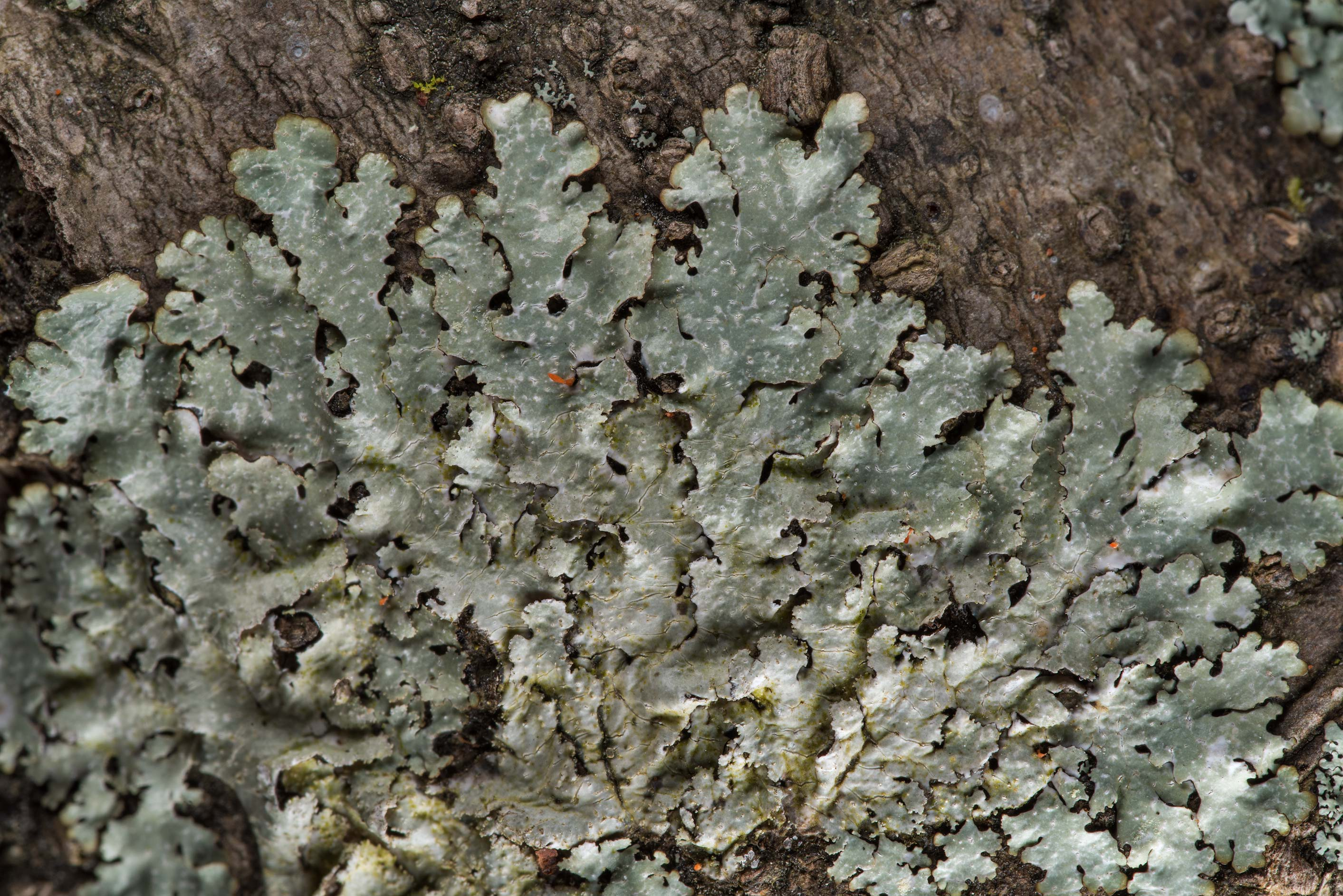 Speckled shield lichen (Punctelia) on a tree on...National Forest. Richards, Texas