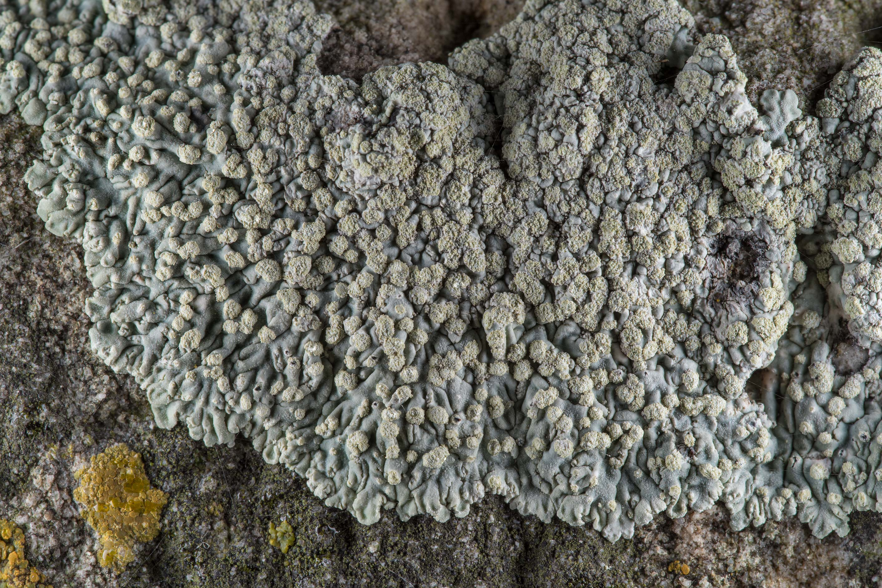 Buttoned rosette lichen (Pyxine) on limestone in...Cemetery near Independence. Texas