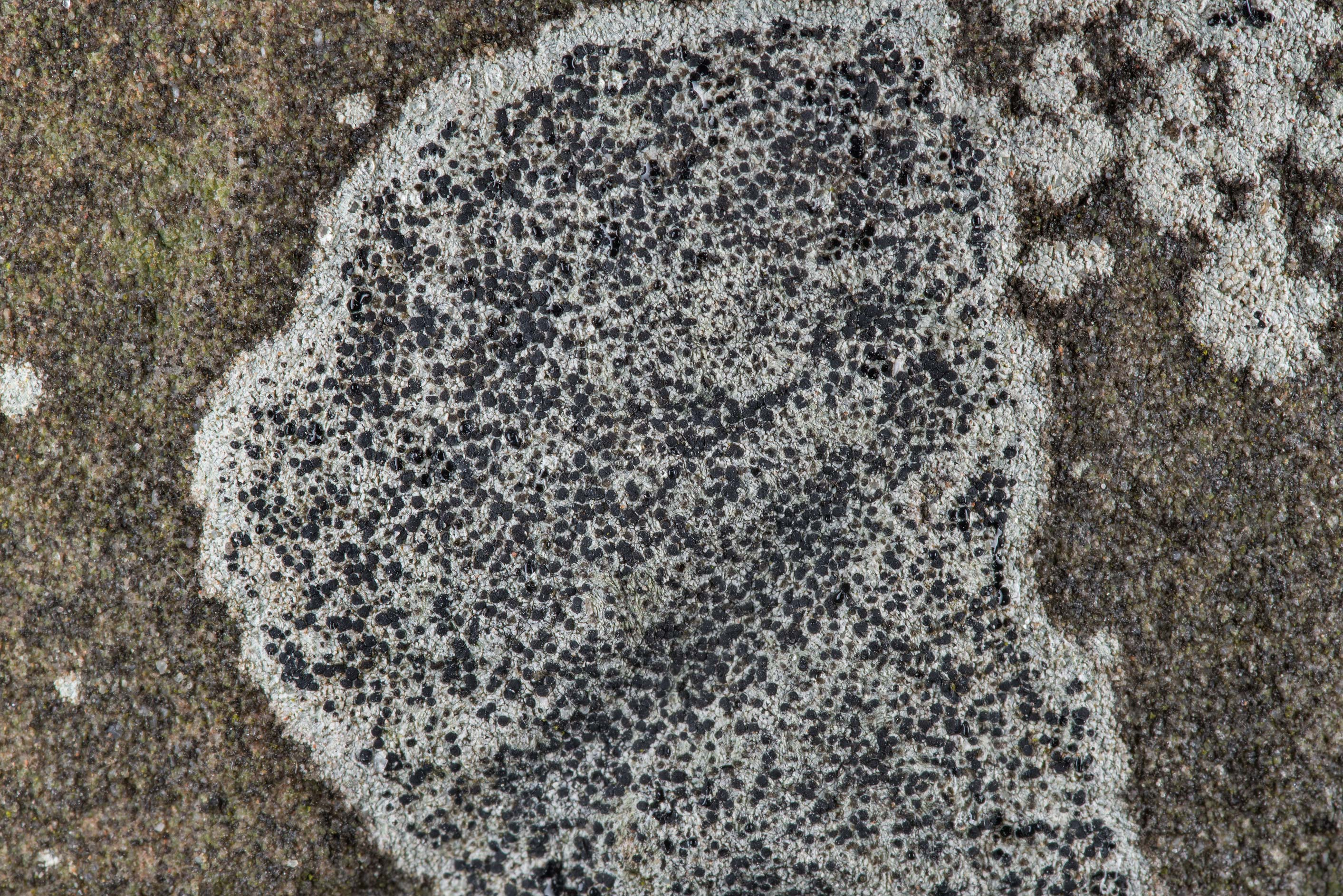 Button lichen (Buellia) on a limestone tomb in...Cemetery near Independence. Texas