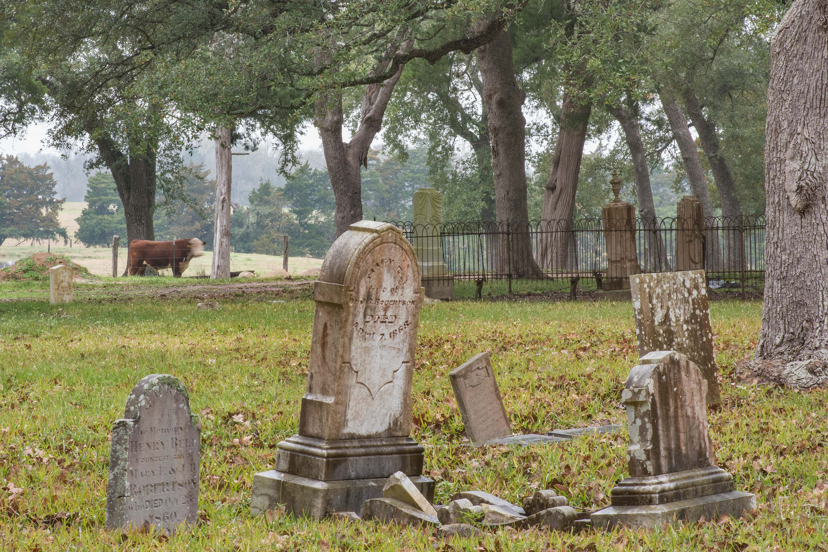 Tombs and cows in Historic Independence Cemetery near Independence. Texas
