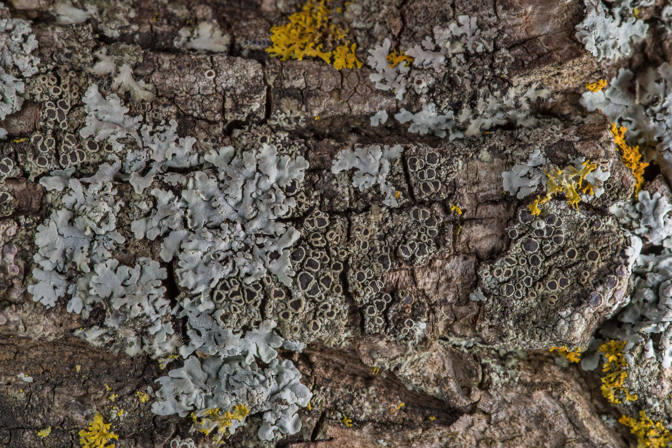 Various lichens on acacia tree bark in TAMU...M University. College Station, Texas