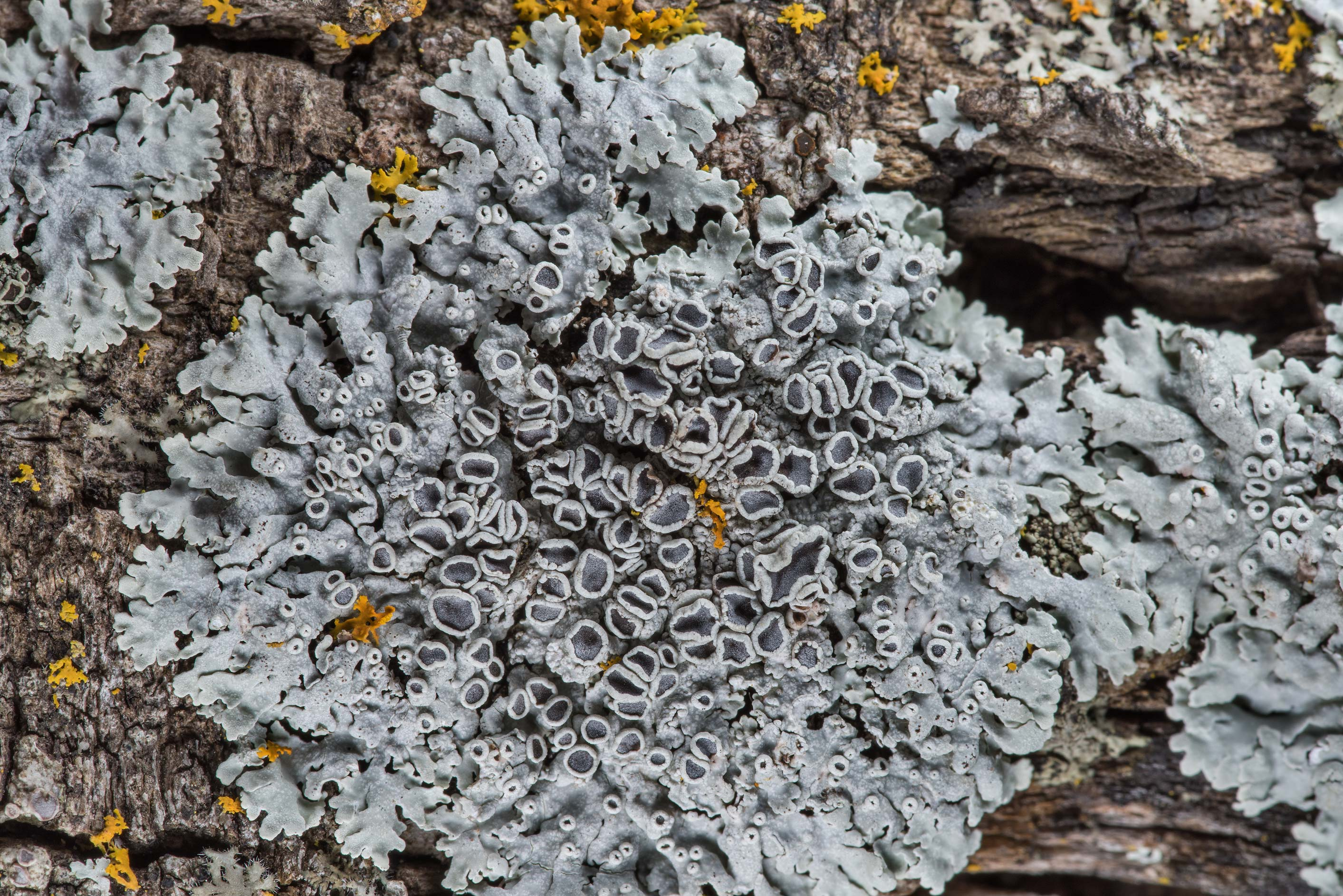 Spotted rosette lichen Physcia pumilior with...M University. College Station, Texas