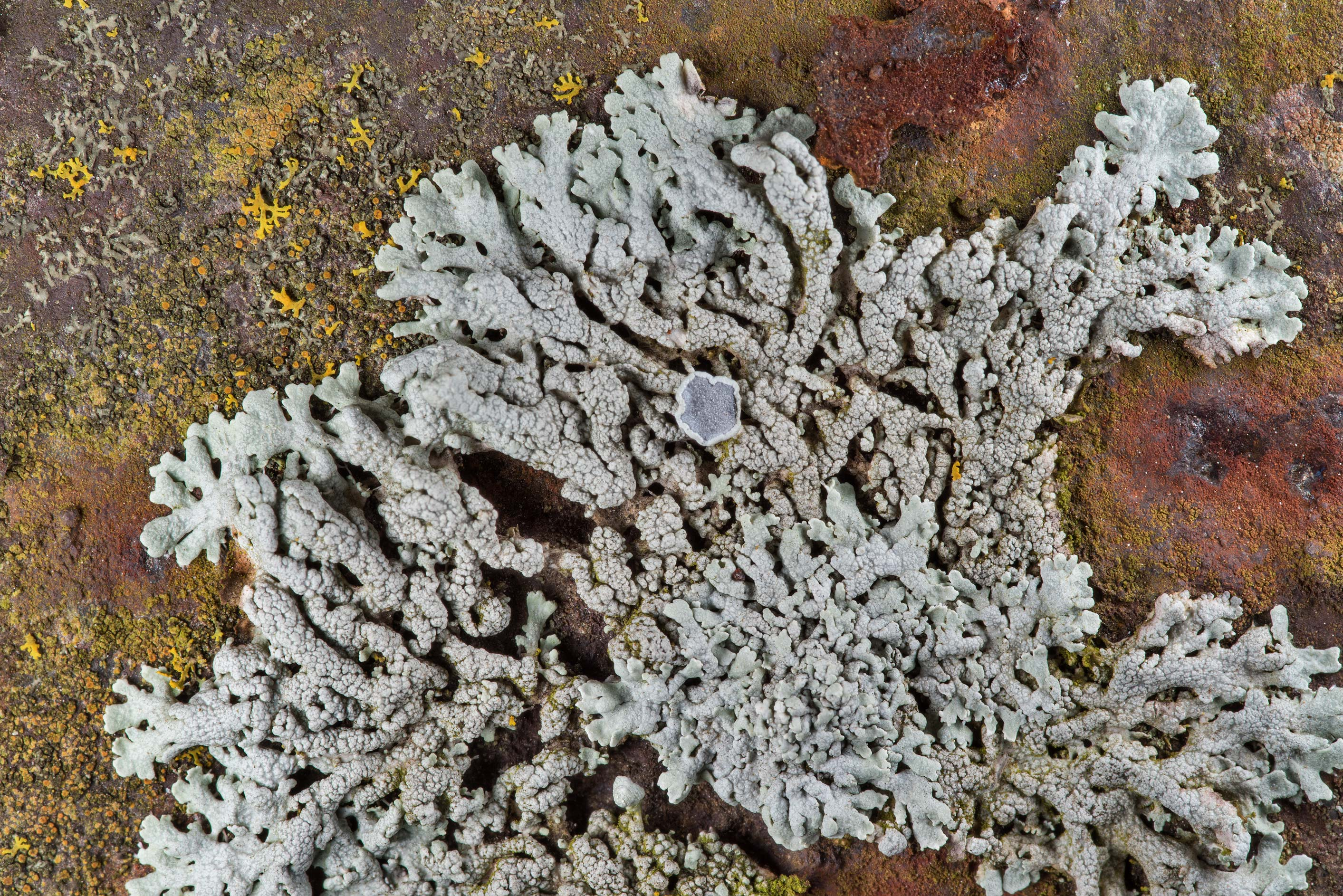 Spotted rosette lichen Physcia pumilior on an...M University. College Station, Texas