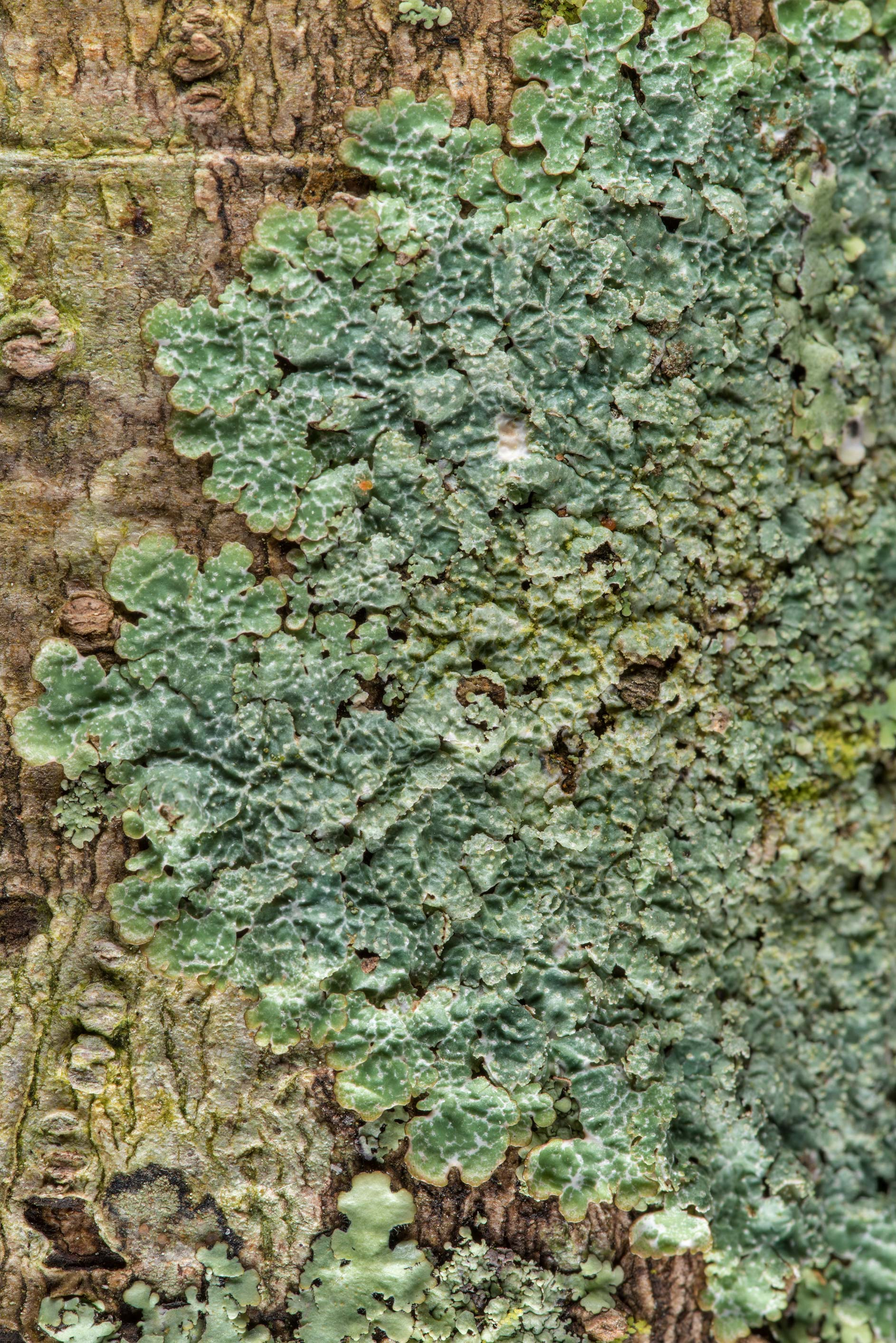 Speckled shield lichen (Punctelia) on a tree on...National Forest near Huntsville. Texas