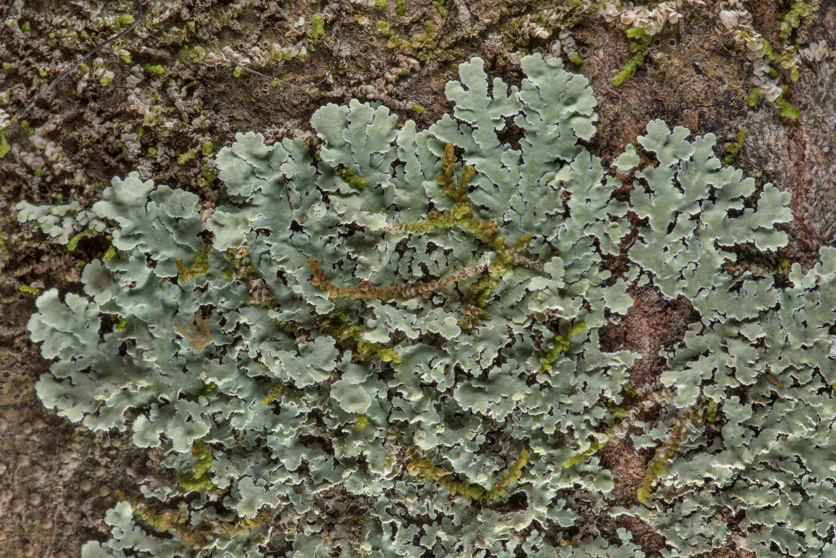 Streaked rosette lichen (Physcia atrostriata) on...National Forest near Huntsville. Texas