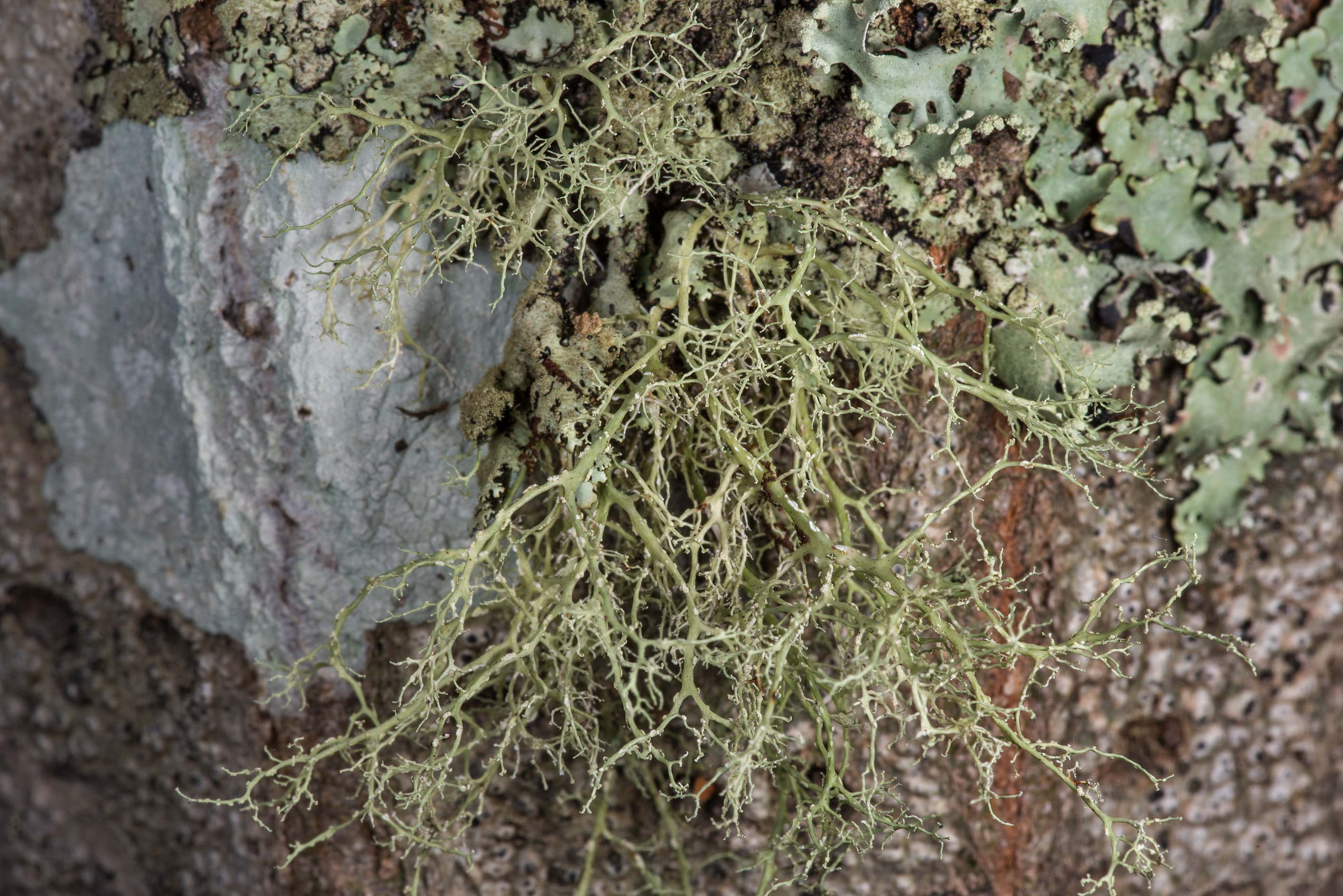 Fruiticose lichen Ramalina sorediosa on a tree on...National Forest near Huntsville. Texas