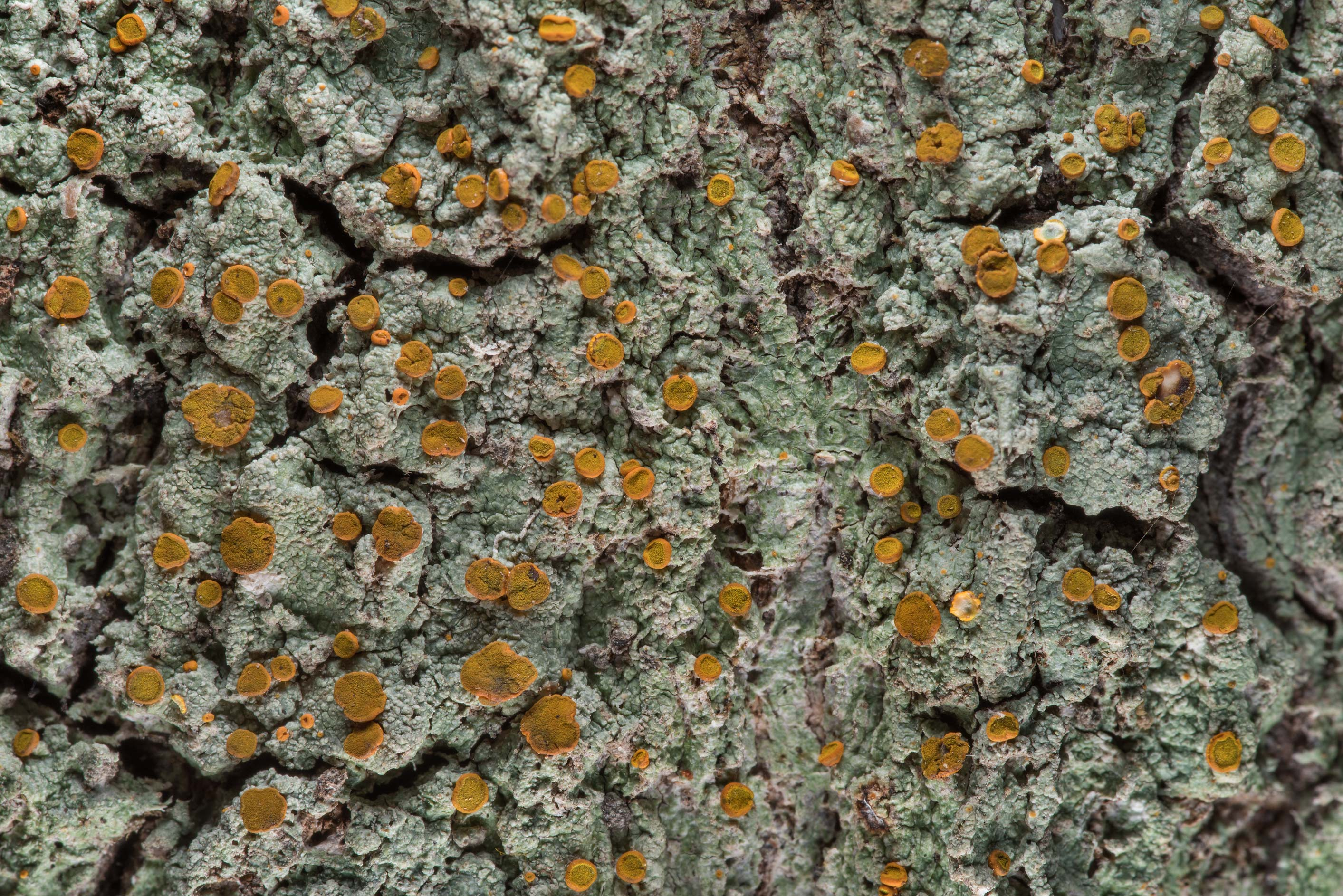 Drying apothecia of brick-spored firedot lichen...National Forest near Huntsville. Texas
