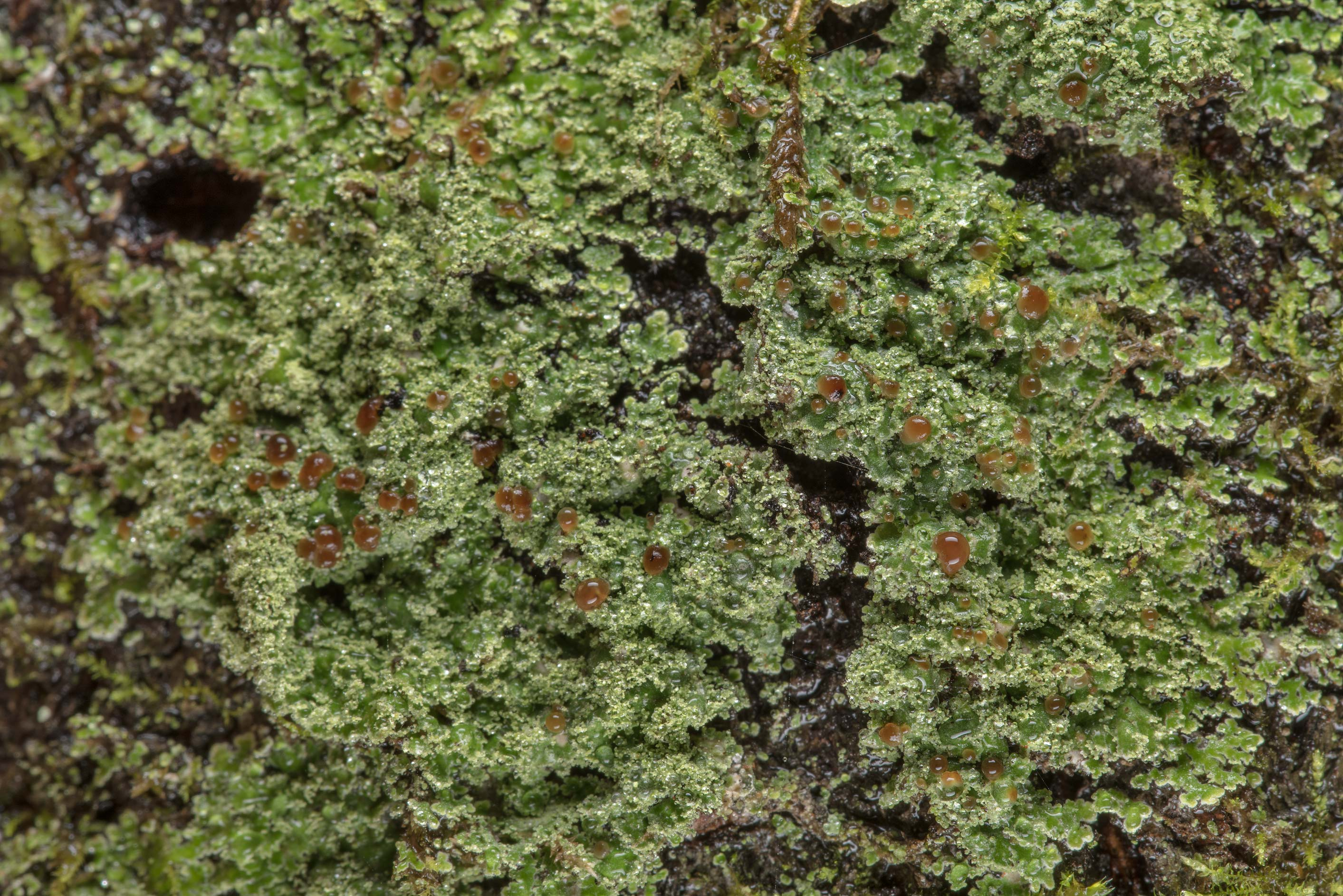 Lace-scale lichen Phyllopsora parvifolia on a...Forest, east from Waverly. Texas