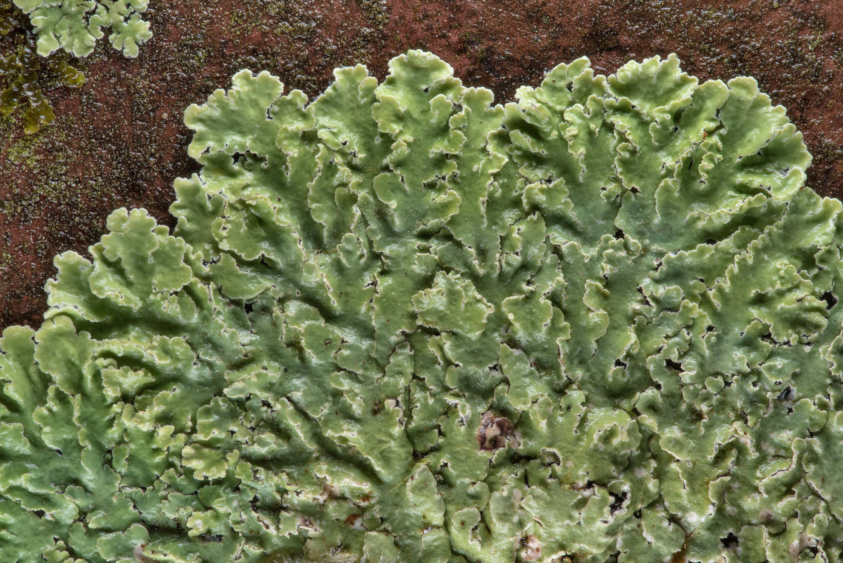 Streaked rosette lichen (Physcia atrostriata) on...Forest, east from Waverly. Texas