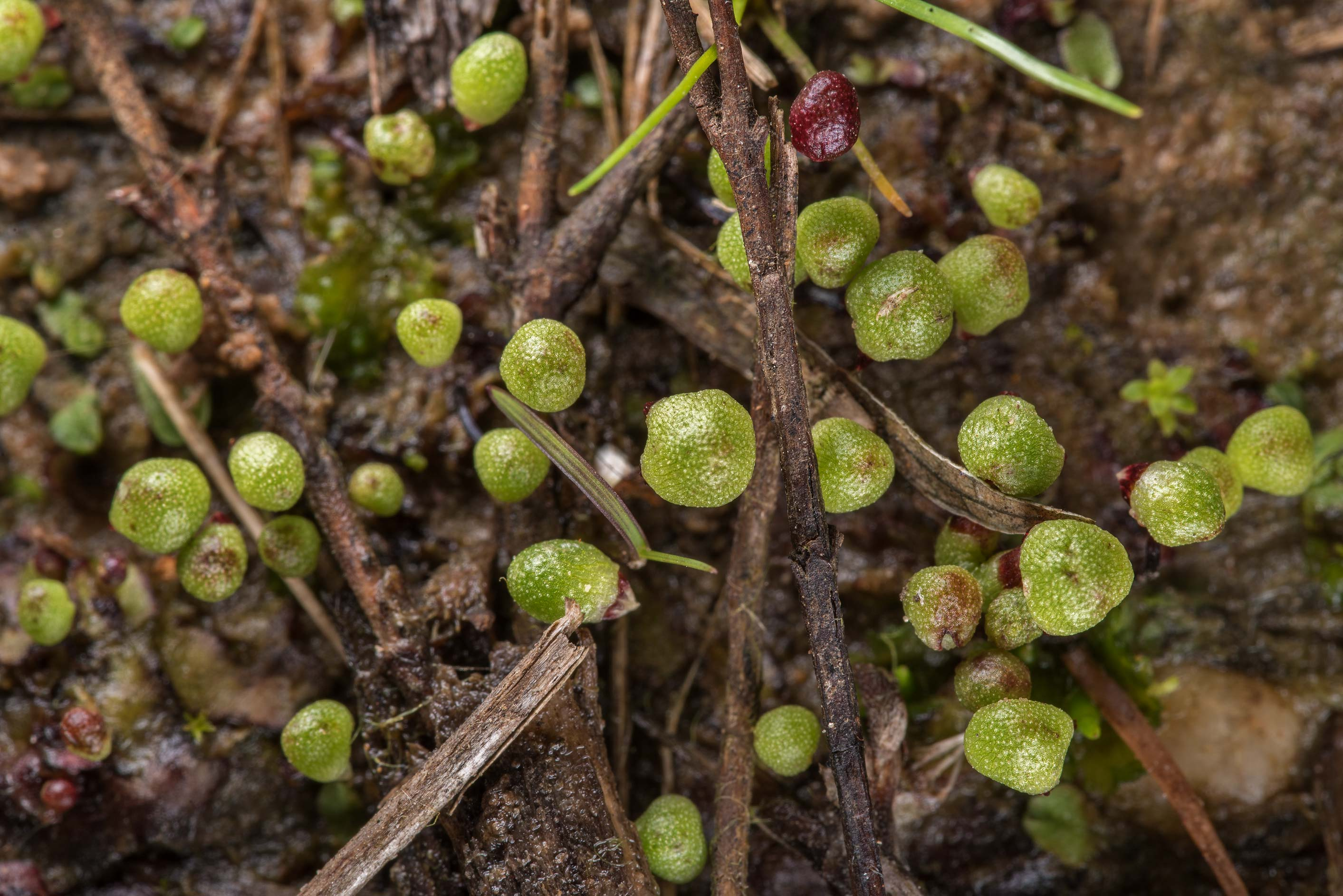 Hemispherical reproductive heads of a liverwort...Creek Park. College Station, Texas